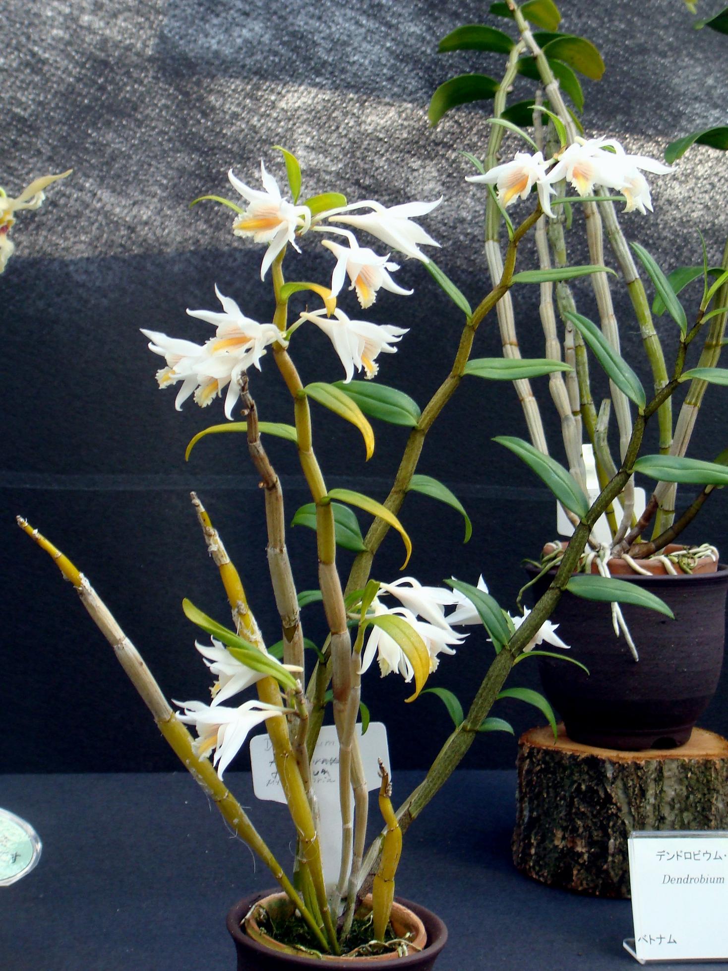 http://orchids.la.coocan.jp/Dendrobium/Dendrobium%20flexuosum/DSC02790.JPG