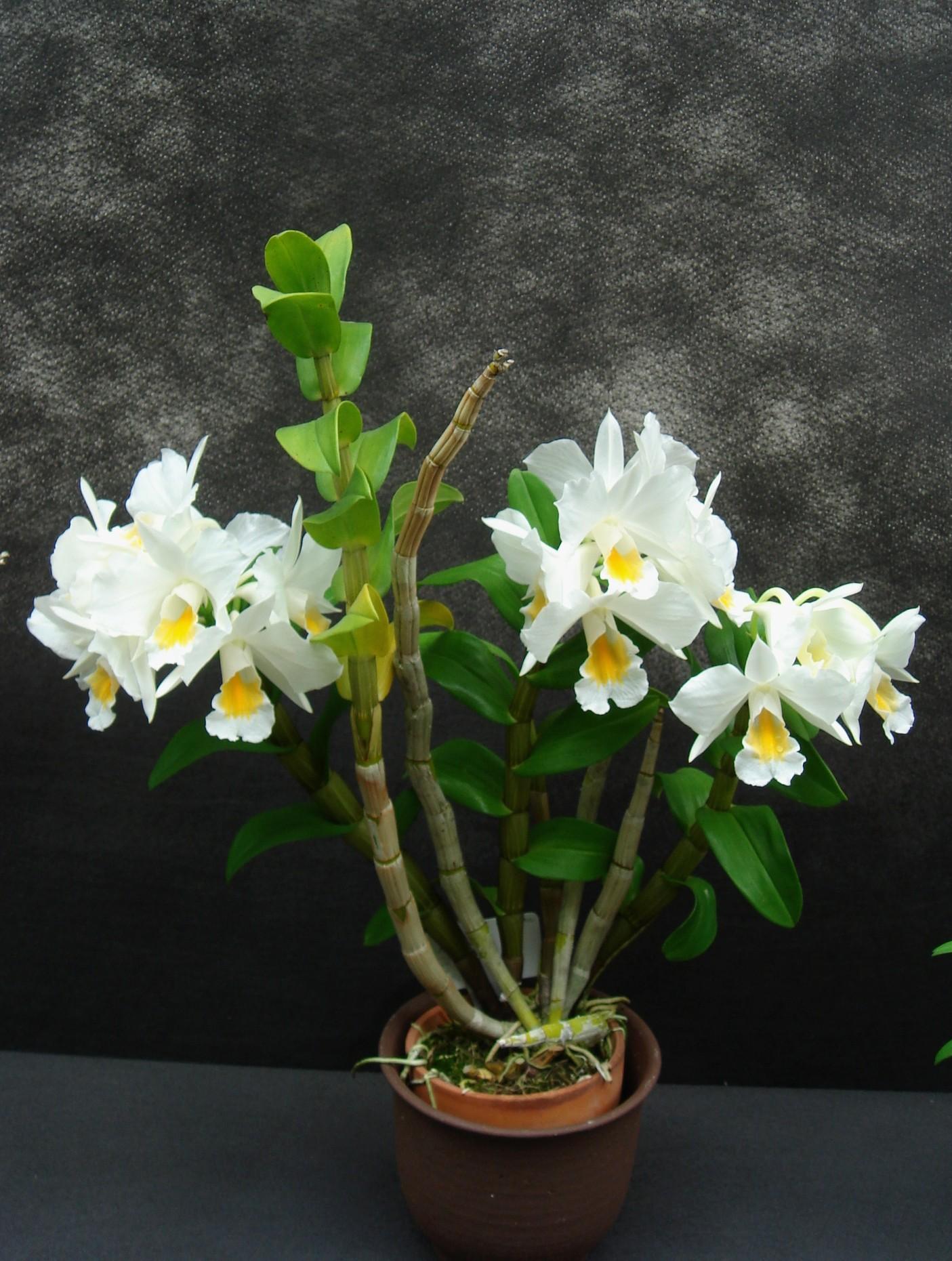http://orchids.la.coocan.jp/Dendrobium/Dendrobium%20formosum/DSC00959.JPG