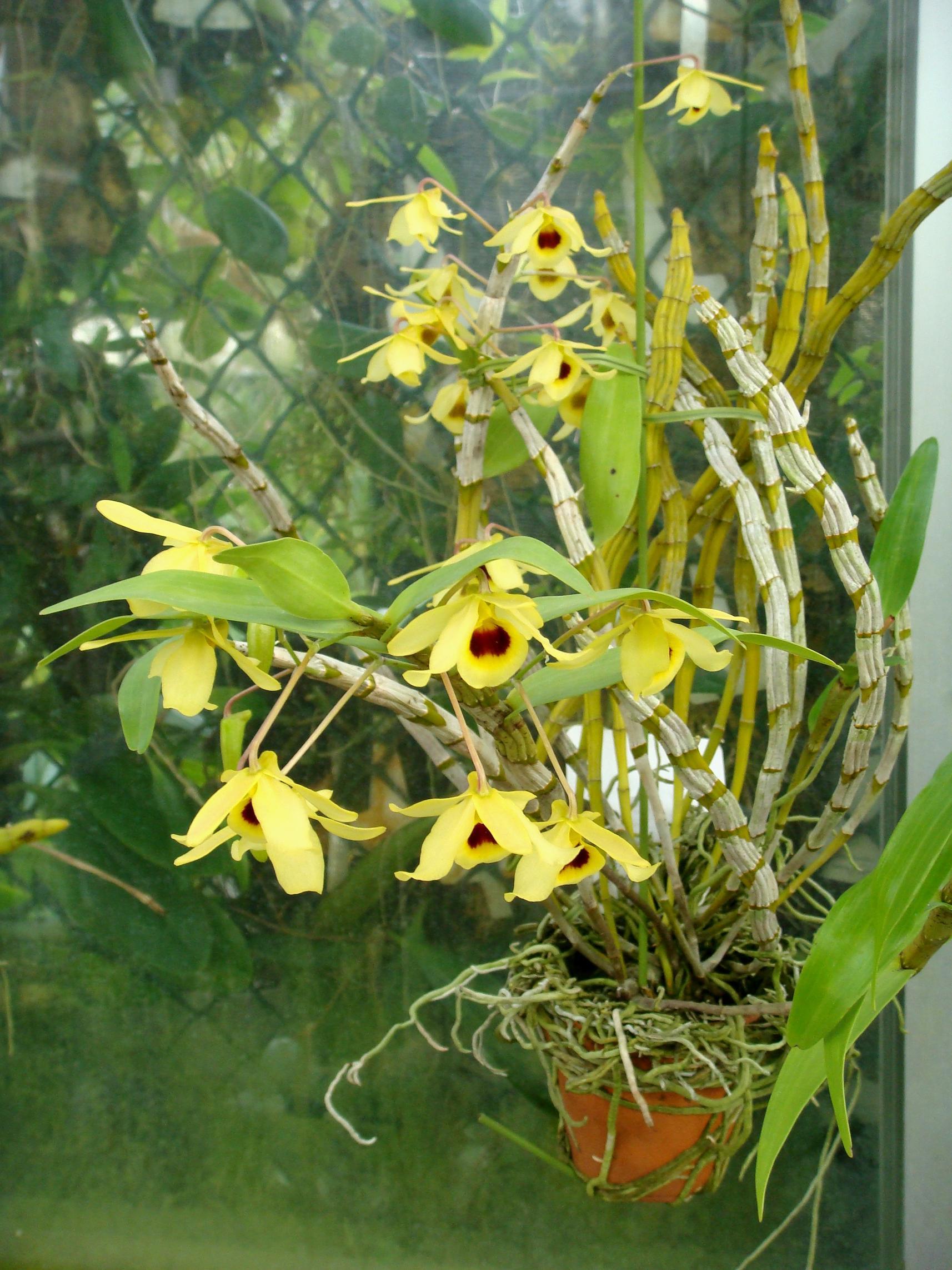 http://orchids.la.coocan.jp/Dendrobium/Dendrobium%20friedericksianum/DSC08573.JPG