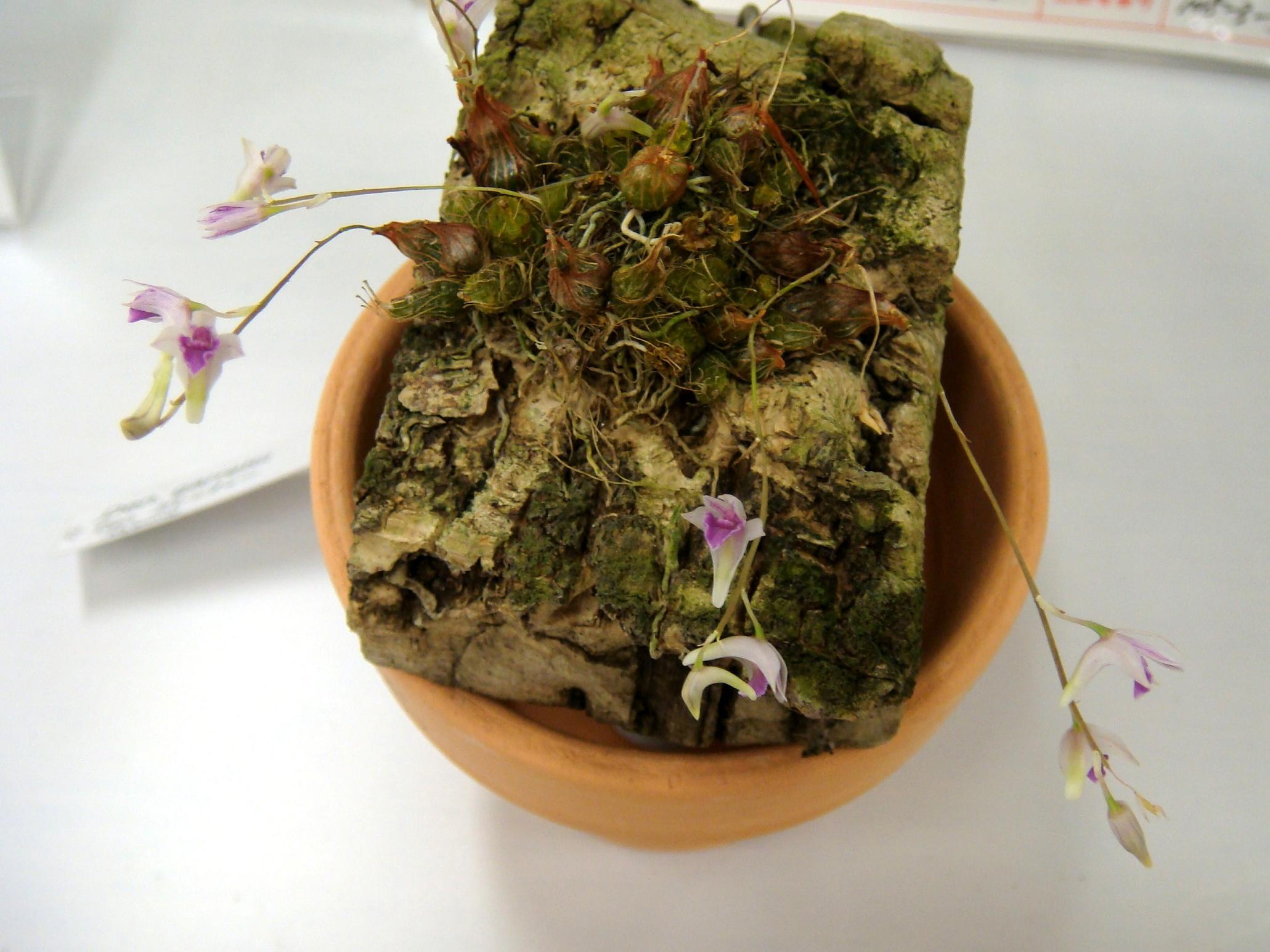http://orchids.la.coocan.jp/Dendrobium/Dendrobium%20garrettii/DSC07175.JPG