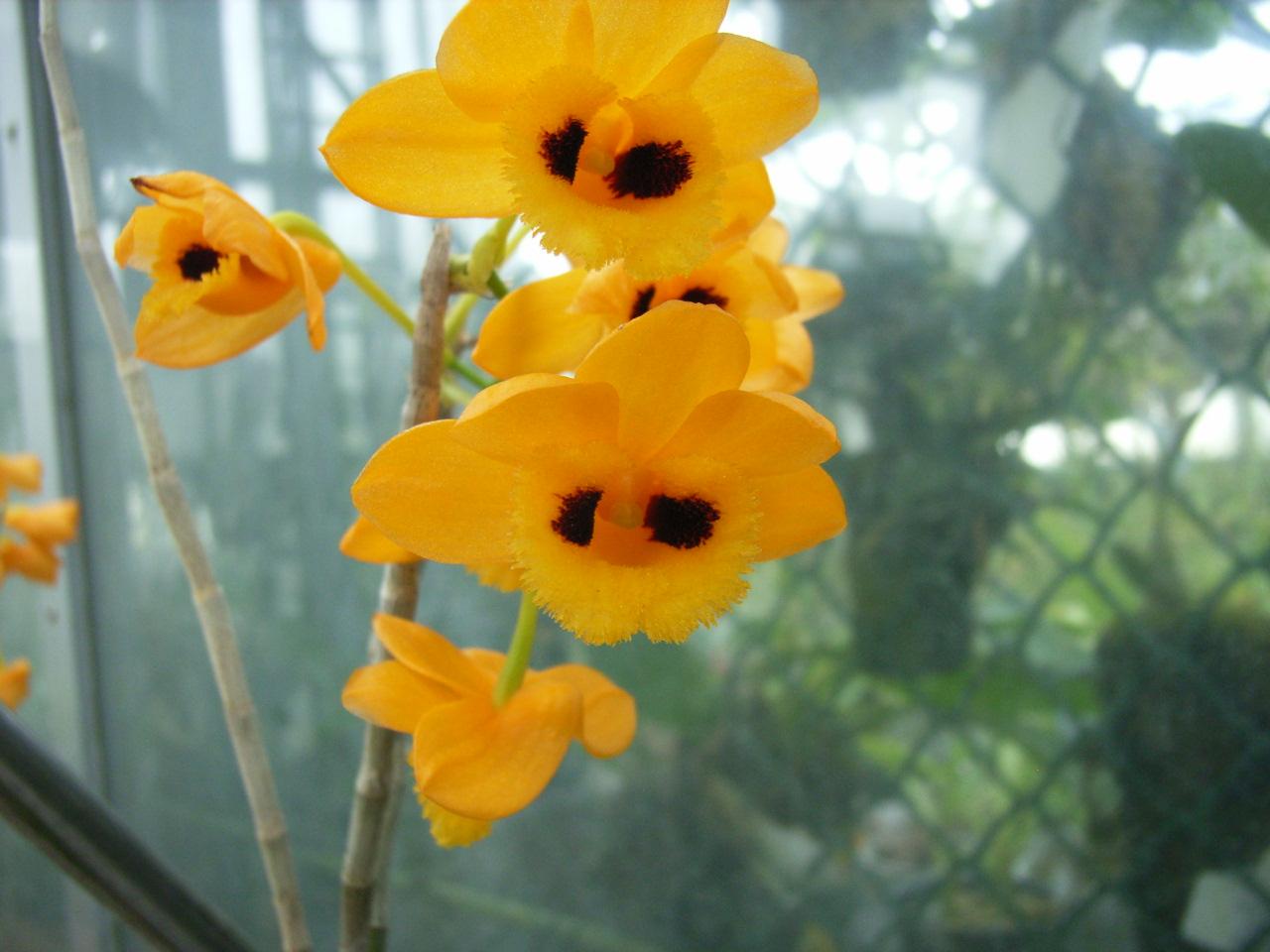 http://orchids.la.coocan.jp/Dendrobium/Dendrobium%20gibsonii/R0062450.JPG