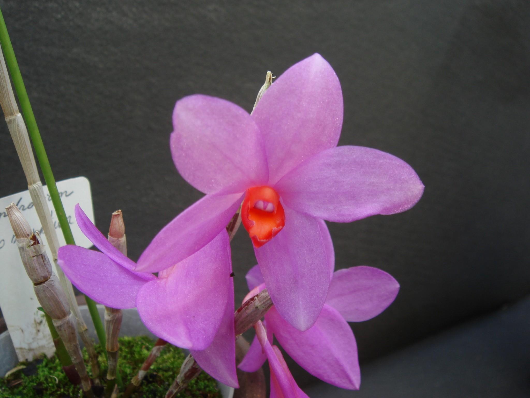 http://orchids.la.coocan.jp/Dendrobium/Dendrobium%20glomeratum/DSC08900.JPG