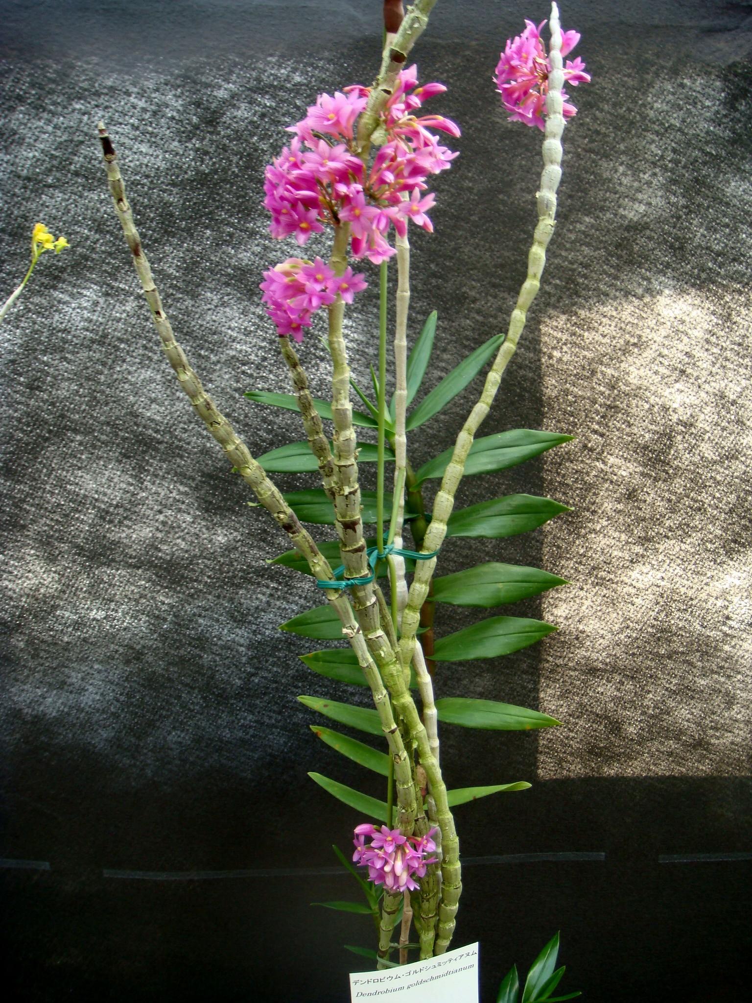 http://orchids.la.coocan.jp/Dendrobium/Dendrobium%20goldschmidtianum/DSC04963.JPG