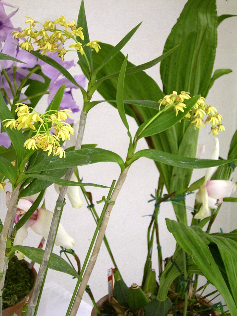 http://orchids.la.coocan.jp/Dendrobium/Dendrobium%20gracilicaule/R0053337.JPG
