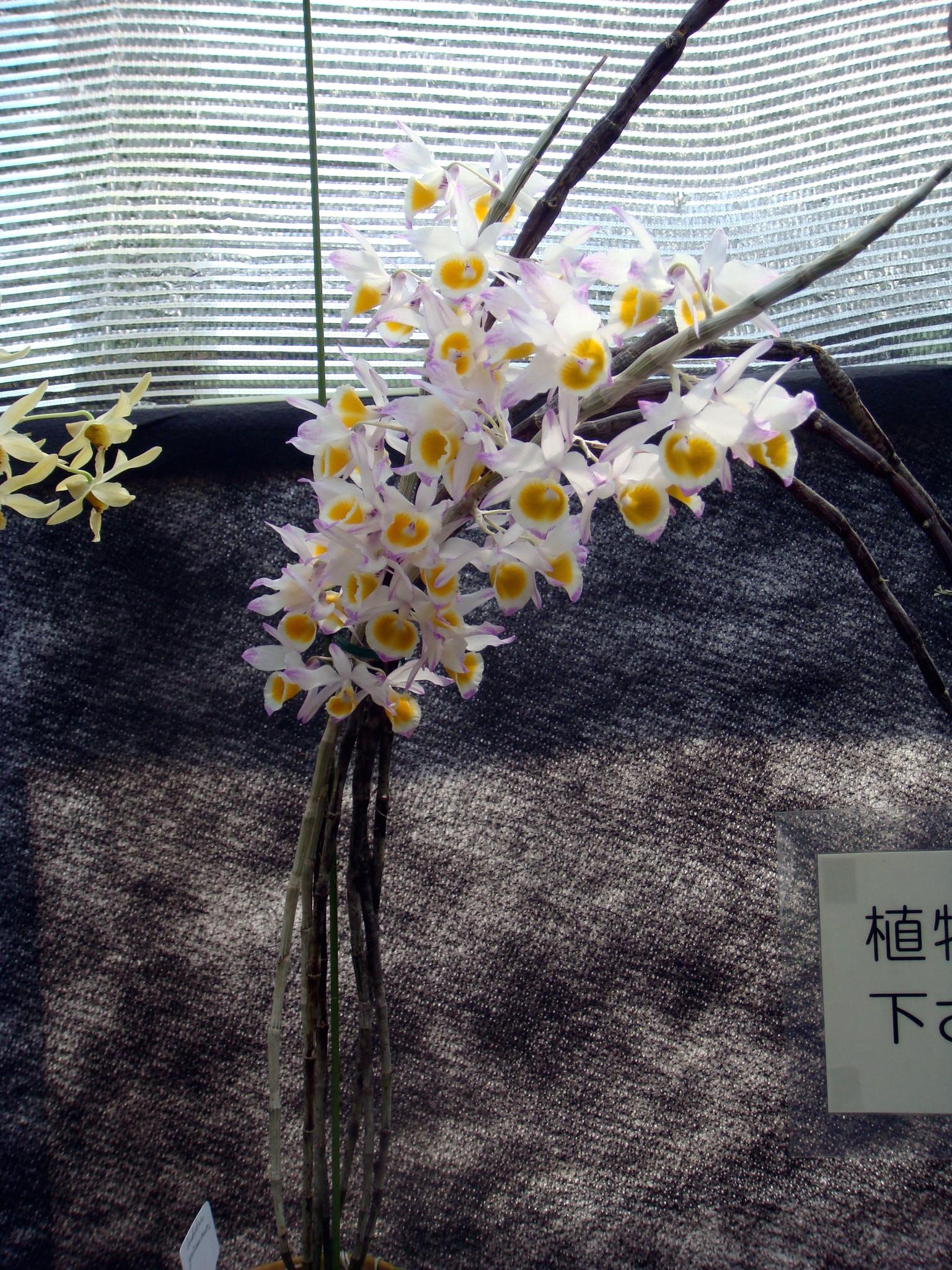 http://orchids.la.coocan.jp/Dendrobium/Dendrobium%20gratiosissimum/DSC04951.JPG