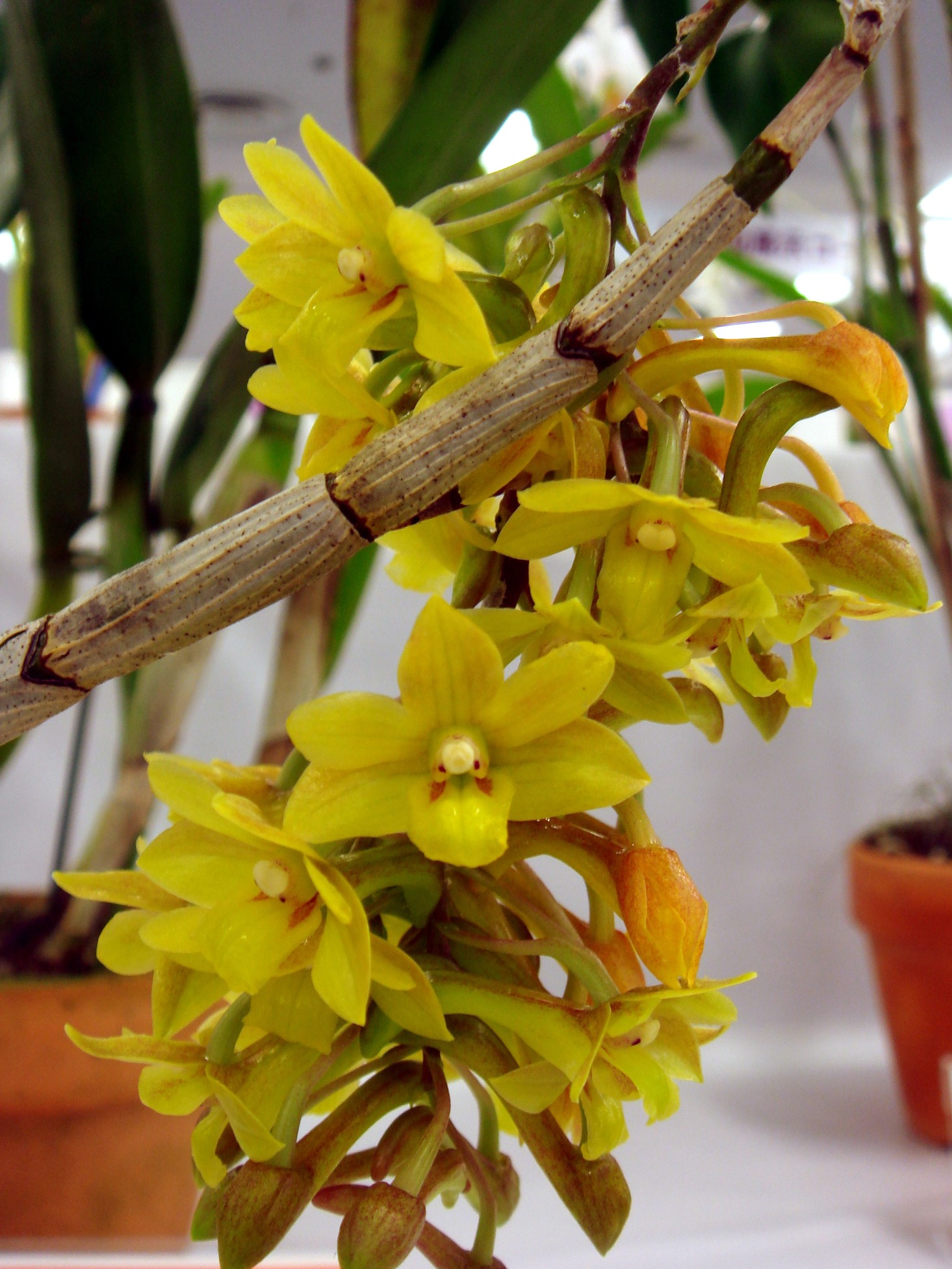 http://orchids.la.coocan.jp/Dendrobium/Dendrobium%20guerreroi/DSC07202.JPG
