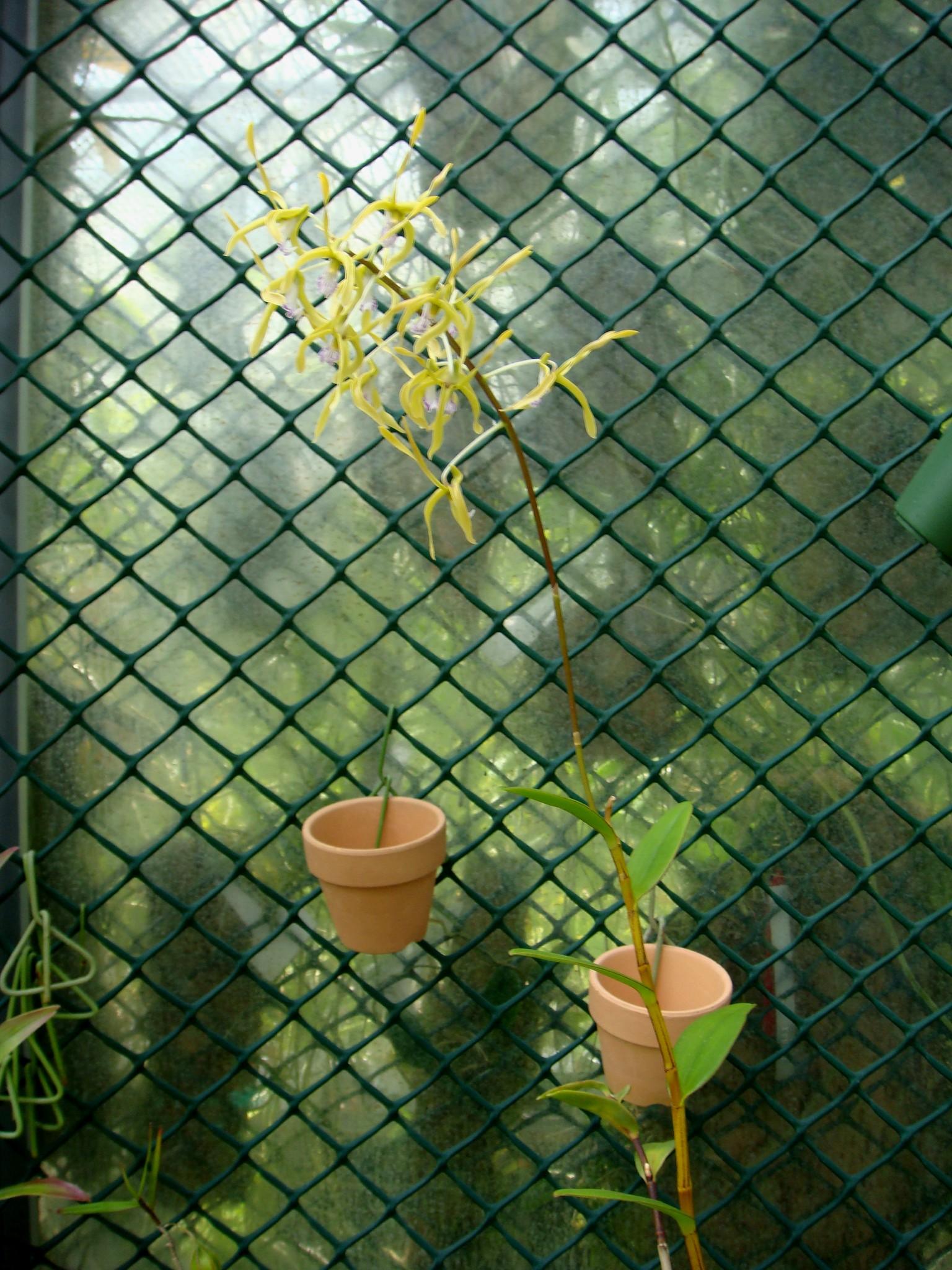 http://orchids.la.coocan.jp/Dendrobium/Dendrobium%20hamiferum/DSC09732.JPG