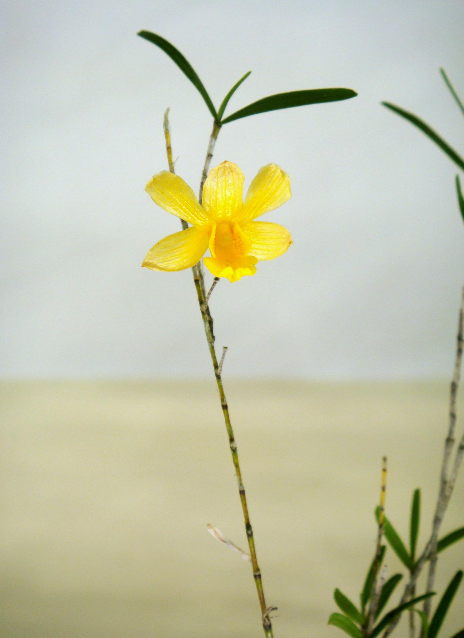 http://orchids.la.coocan.jp/Dendrobium/Dendrobium%20hancockii/DSC00013.JPG