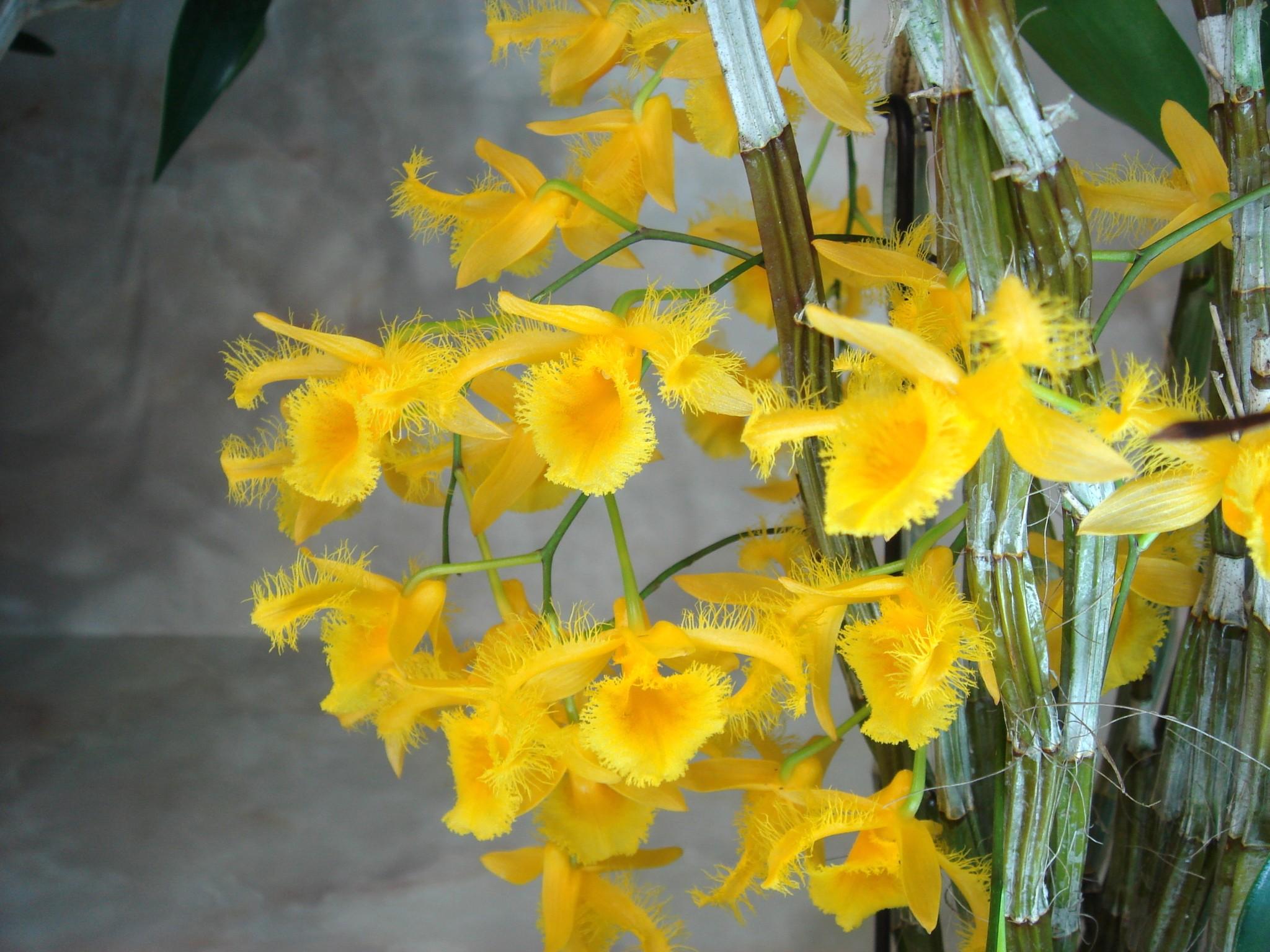 http://orchids.la.coocan.jp/Dendrobium/Dendrobium%20harveyanum/DSC01691.JPG