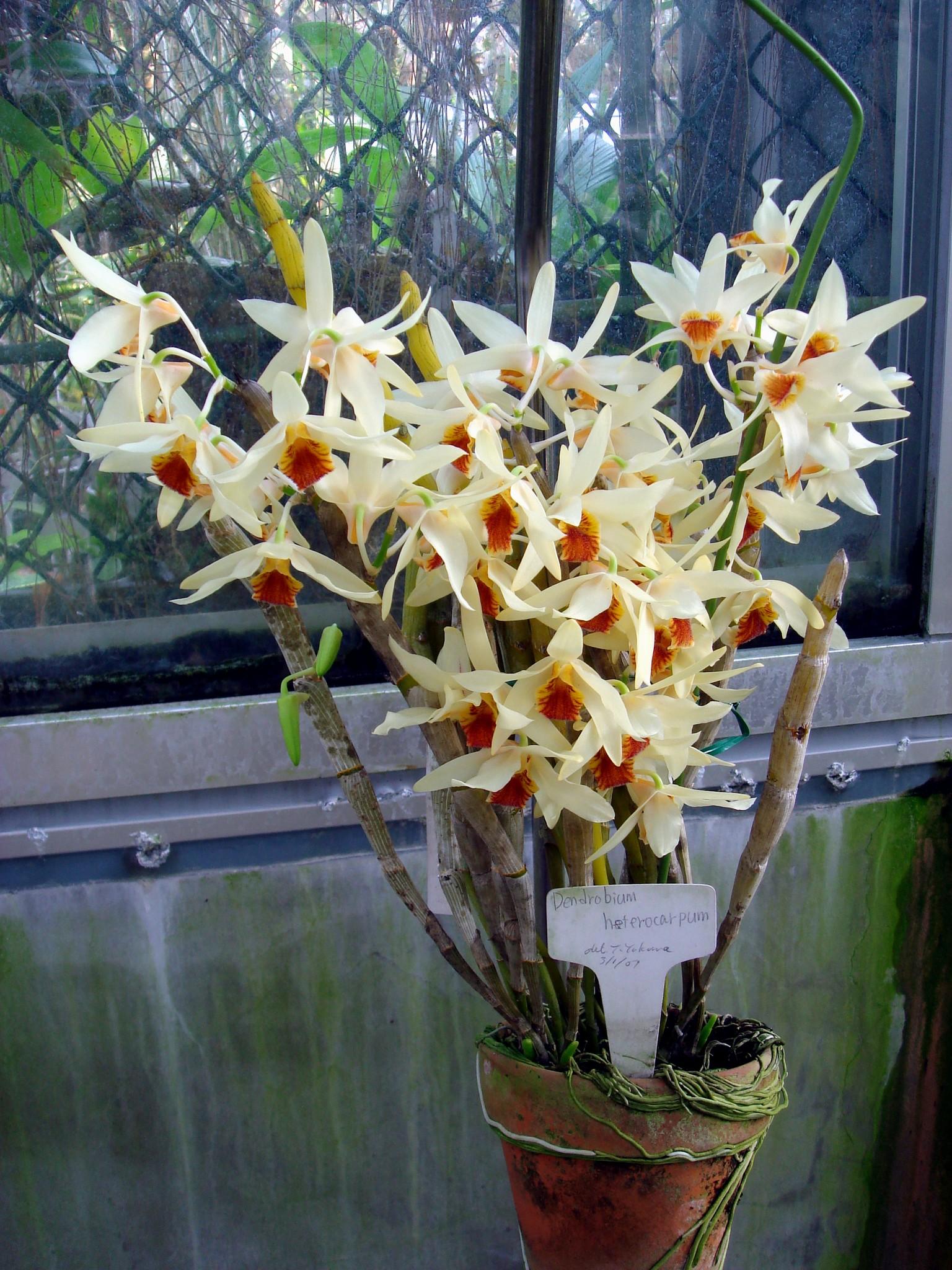 http://orchids.la.coocan.jp/Dendrobium/Dendrobium%20heterocarpum/DSC01369.JPG