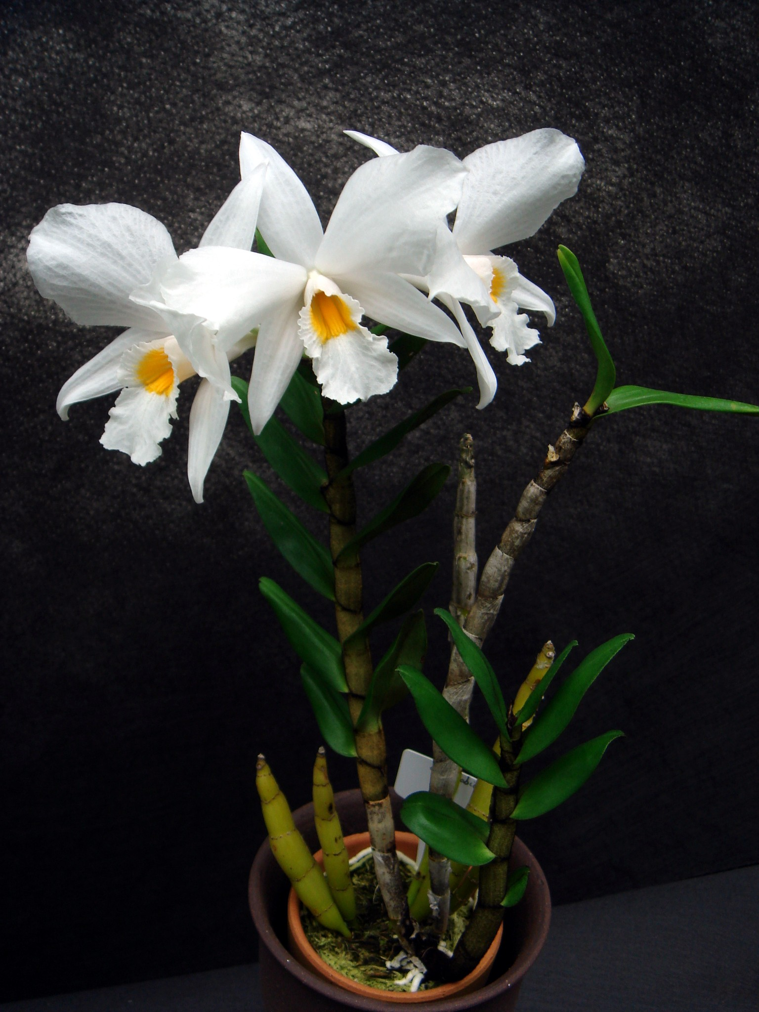 http://orchids.la.coocan.jp/Dendrobium/Dendrobium%20infundibulum/DSC01302.JPG