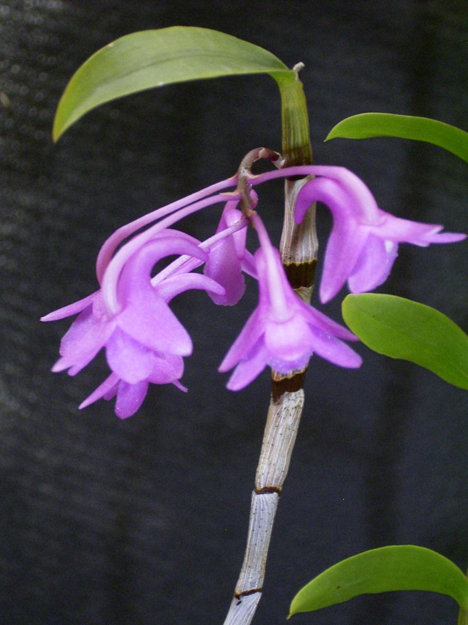 http://orchids.la.coocan.jp/Dendrobium/Dendrobium%20intricatum/R0043350.JPG