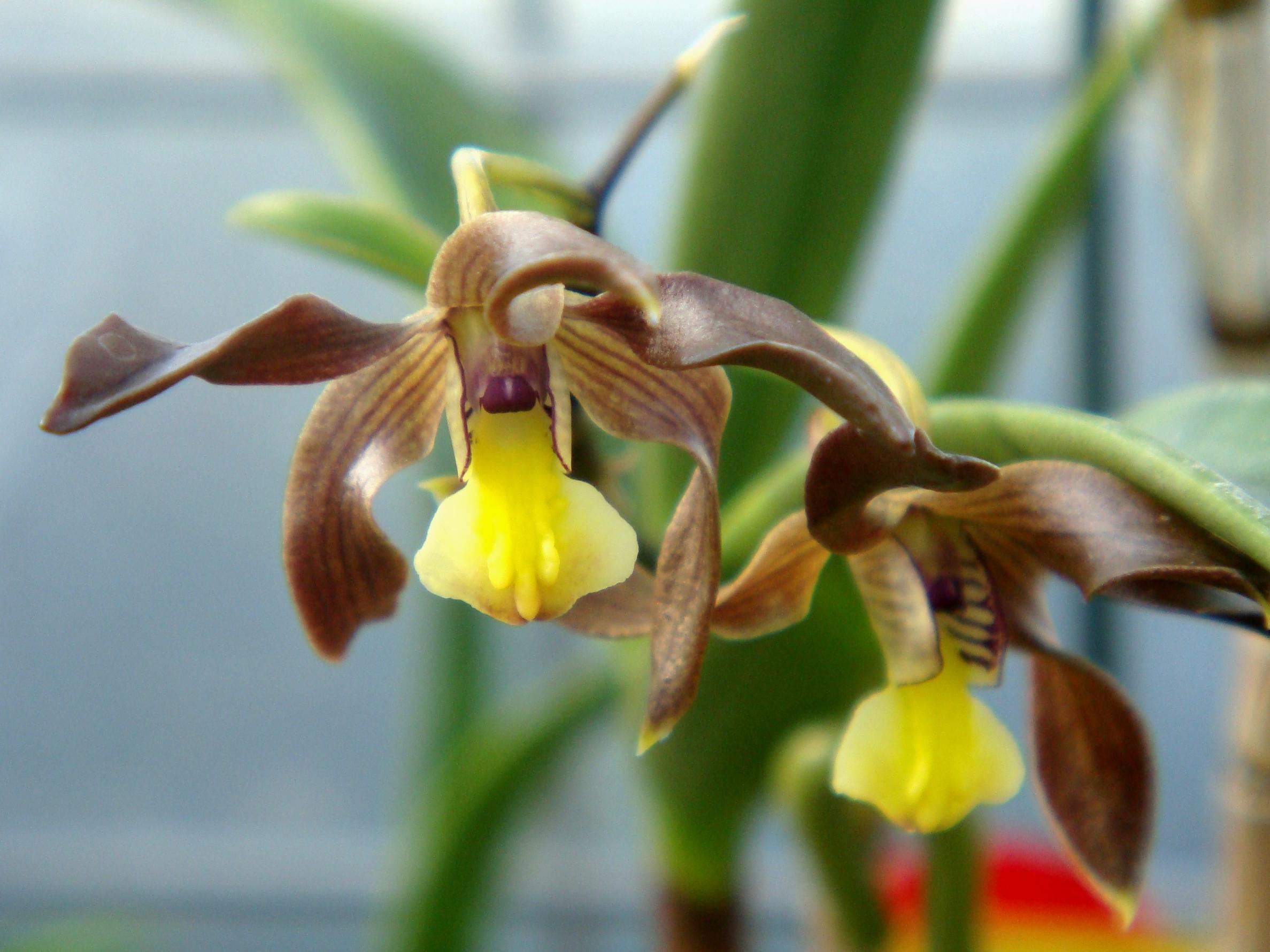 http://orchids.la.coocan.jp/Dendrobium/Dendrobium%20johannis/DSC05897.JPG