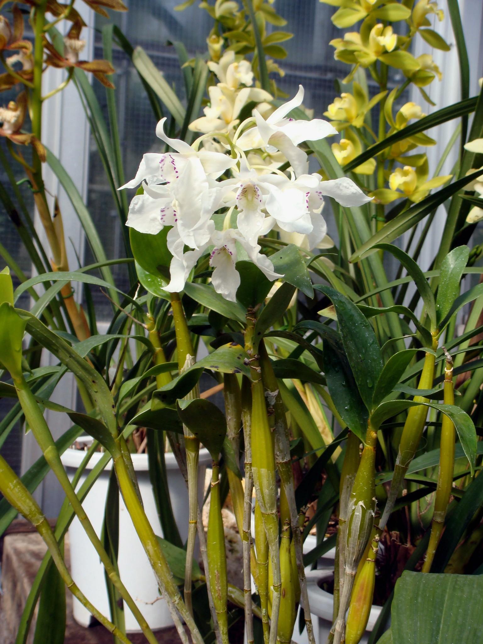 http://orchids.la.coocan.jp/Dendrobium/Dendrobium%20johnsoniae/DSC02711.JPG