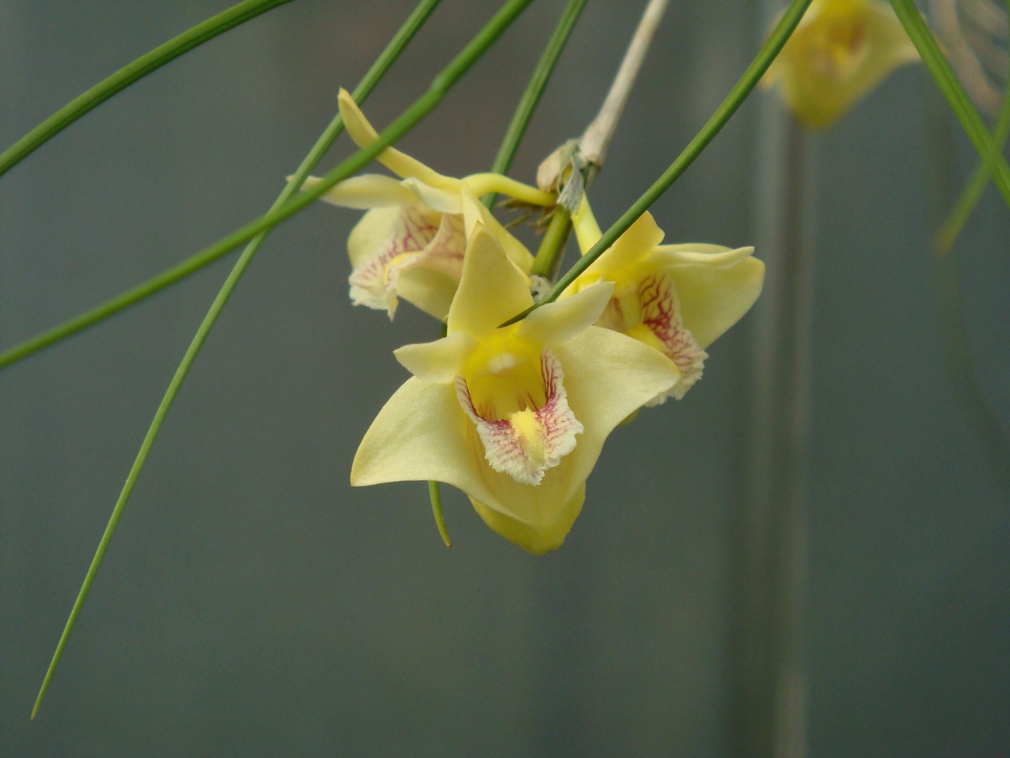 http://orchids.la.coocan.jp/Dendrobium/Dendrobium%20junceum/DSC04507.JPG