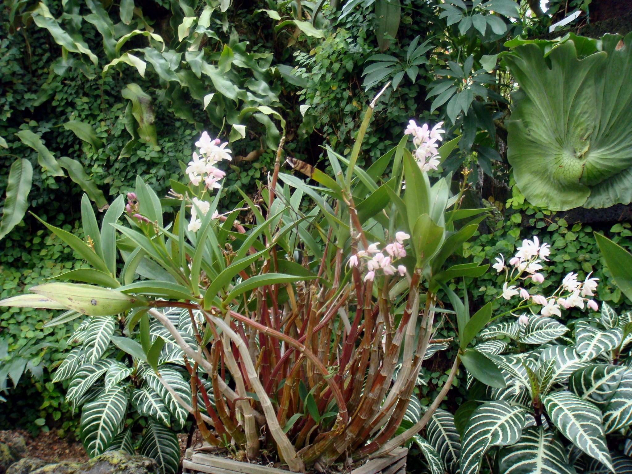 http://orchids.la.coocan.jp/Dendrobium/Dendrobium%20kingianum/DSC07410.JPG