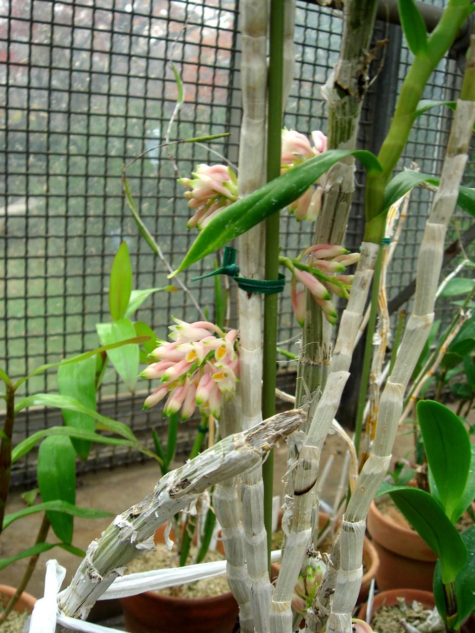 http://orchids.la.coocan.jp/Dendrobium/Dendrobium%20kraemeri/DSC05155.JPG