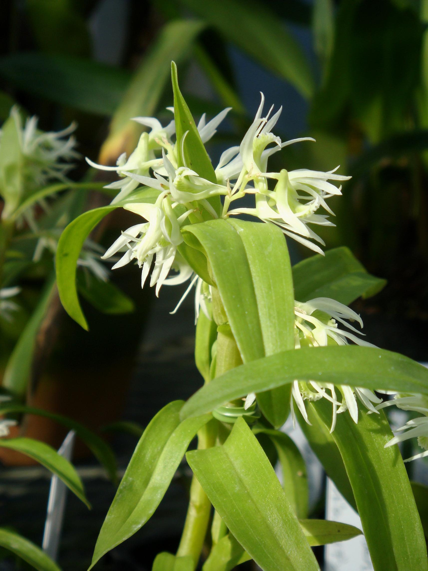 http://orchids.la.coocan.jp/Dendrobium/Dendrobium%20kratense/DSC05437.JPG