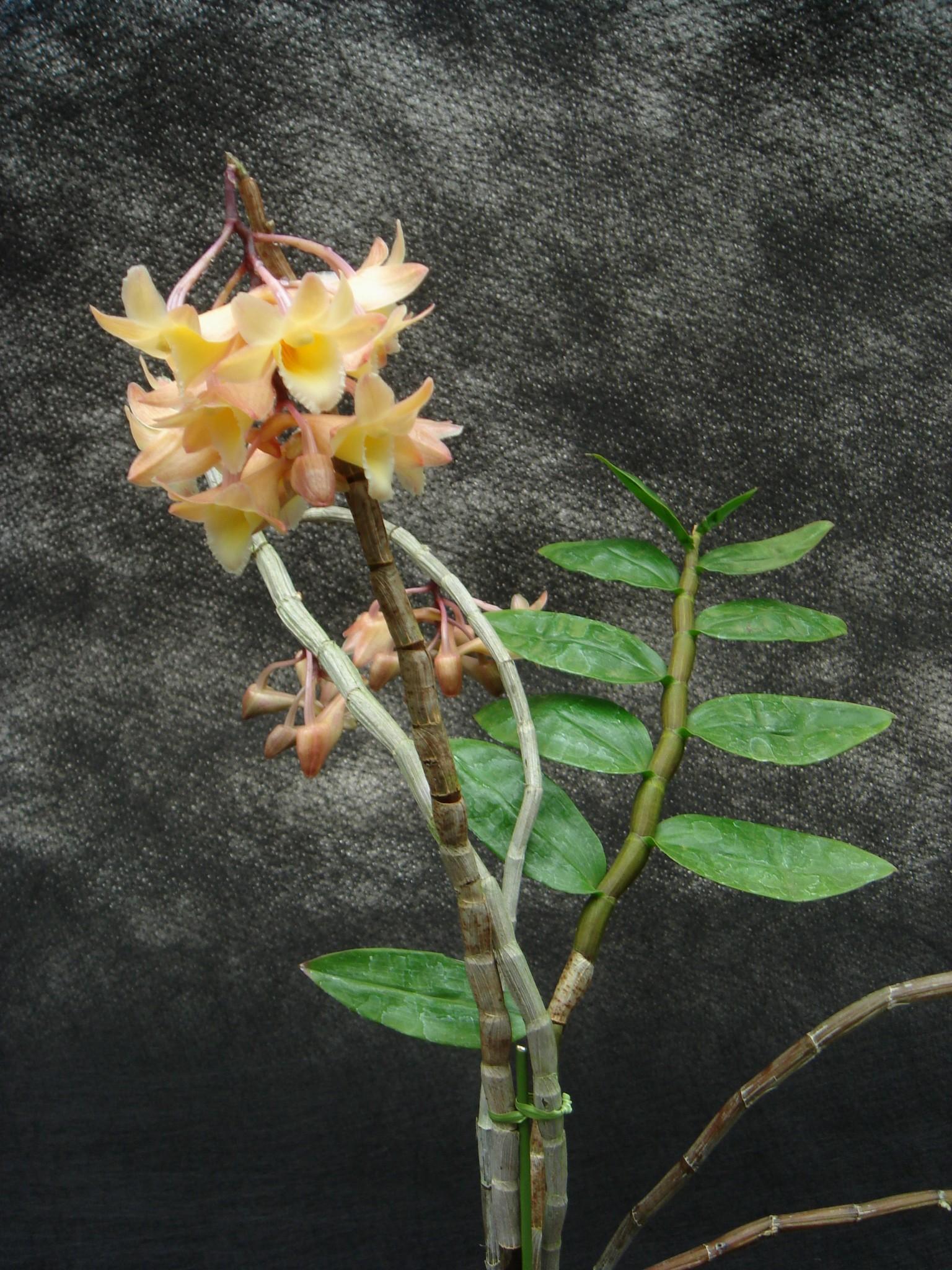 http://orchids.la.coocan.jp/Dendrobium/Dendrobium%20lampongense/DSC00974.JPG