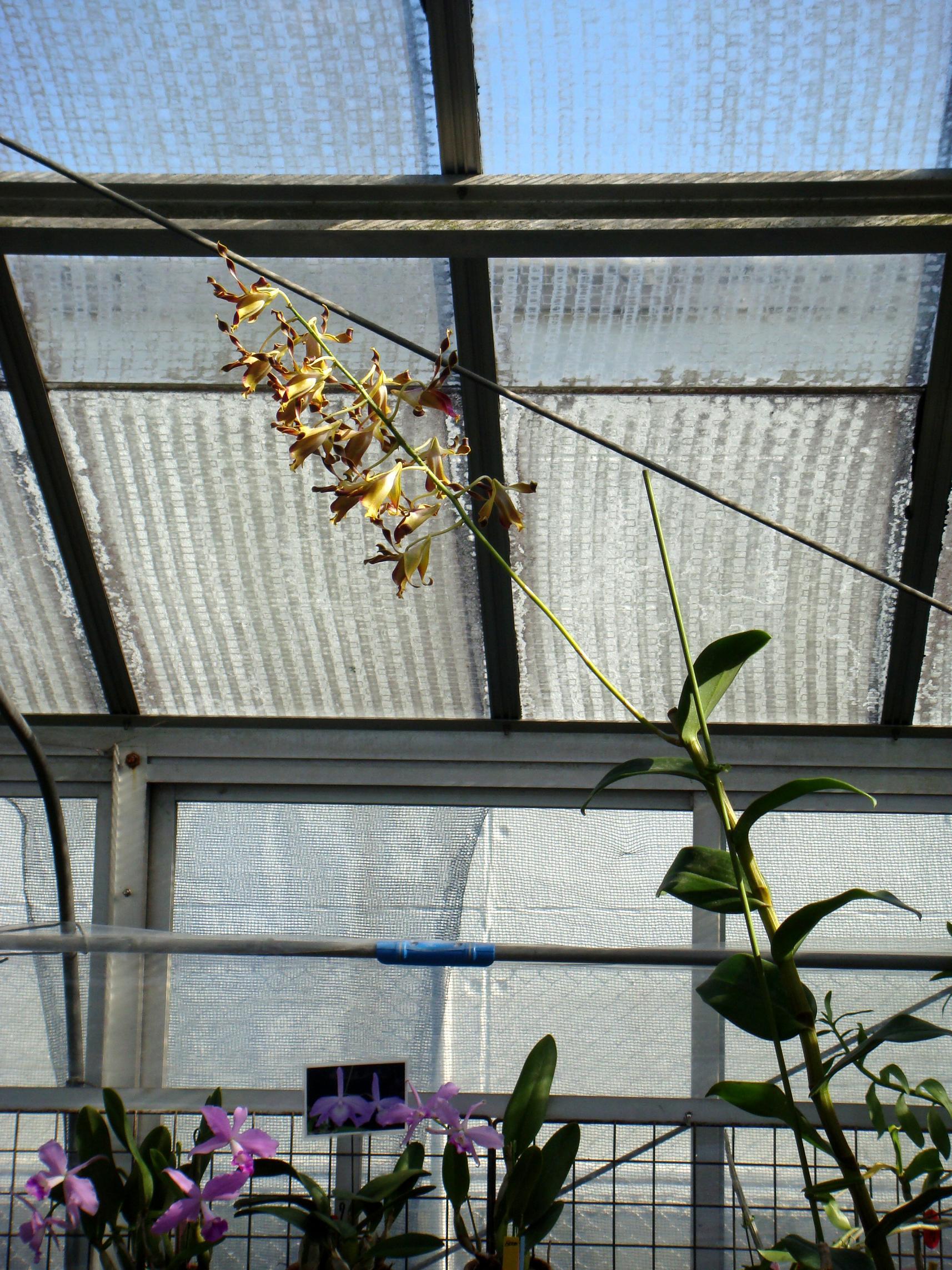 http://orchids.la.coocan.jp/Dendrobium/Dendrobium%20lasianthera/DSC03750.JPG
