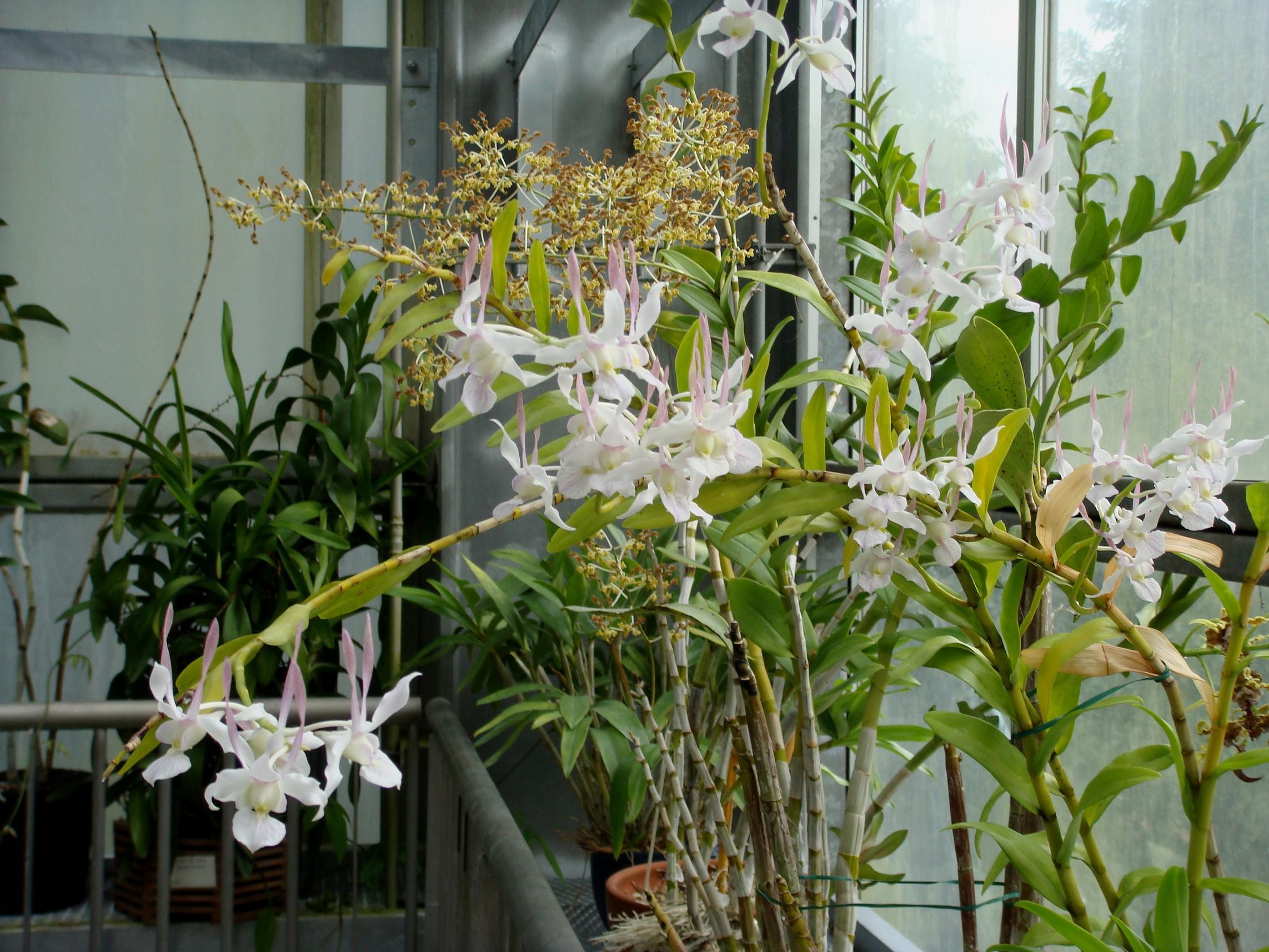 http://orchids.la.coocan.jp/Dendrobium/Dendrobium%20leporinum/DSC05144.JPG