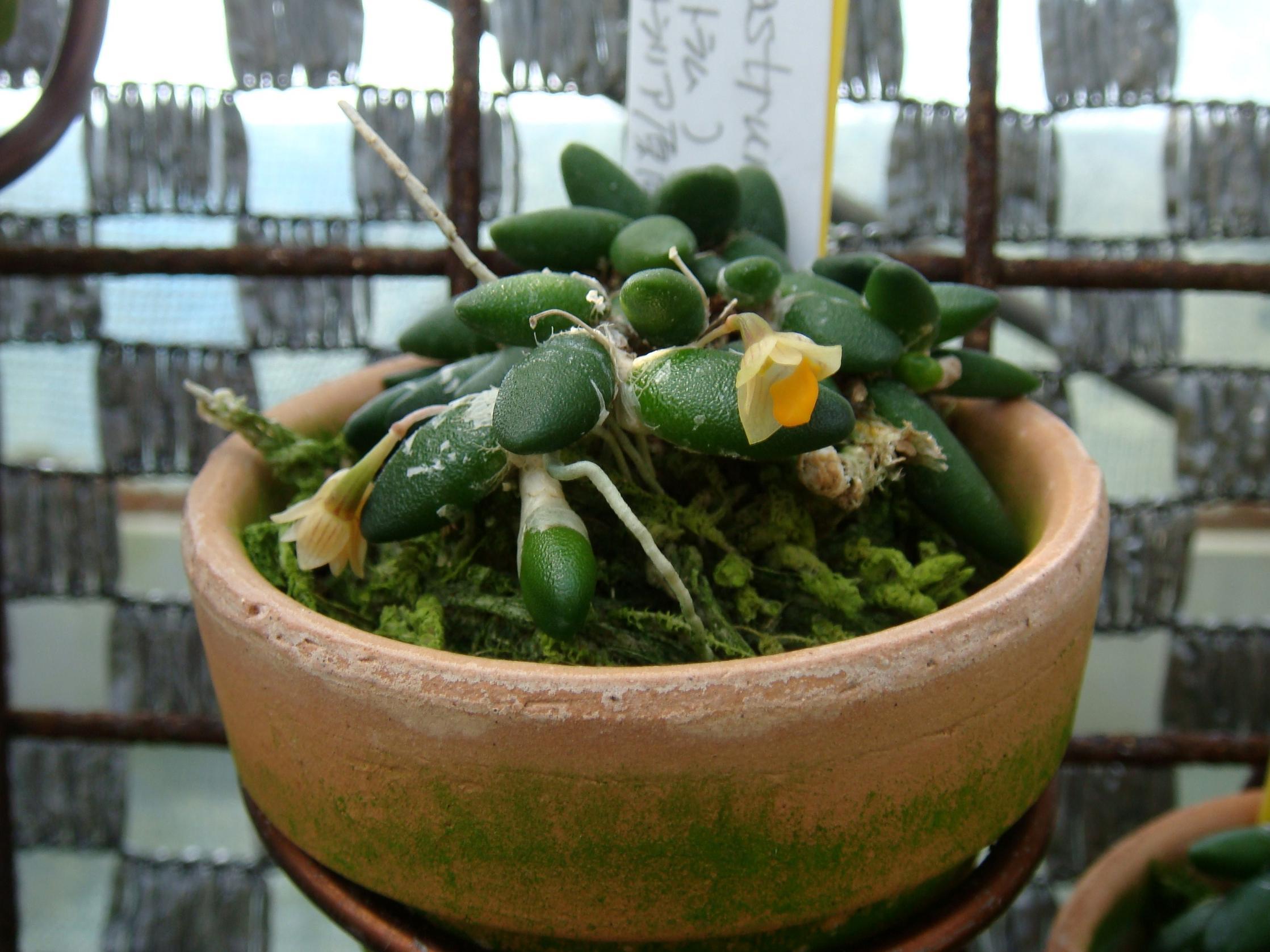 http://orchids.la.coocan.jp/Dendrobium/Dendrobium%20lichenastrum/DSC01848.JPG