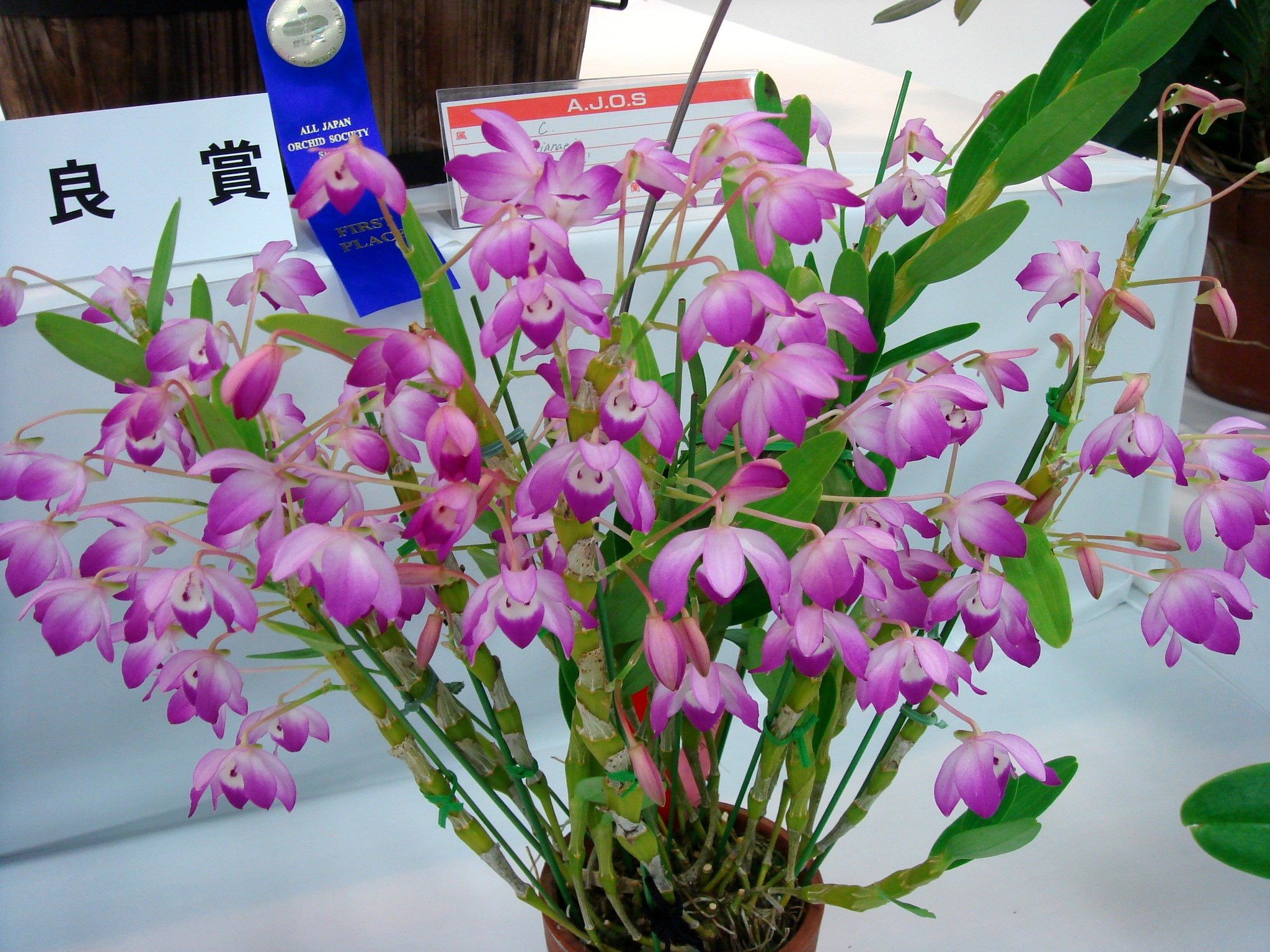 http://orchids.la.coocan.jp/Dendrobium/Dendrobium%20linawianum/DSC06974.JPG