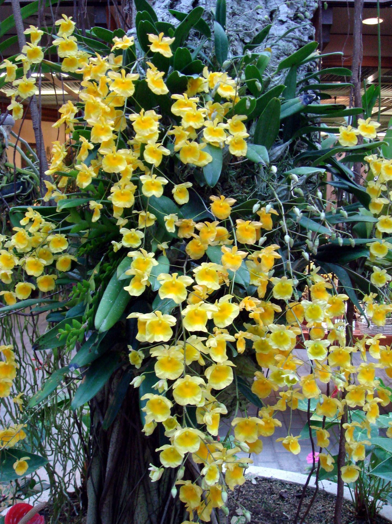 http://orchids.la.coocan.jp/Dendrobium/Dendrobium%20lindleyi/DSC00781.JPG