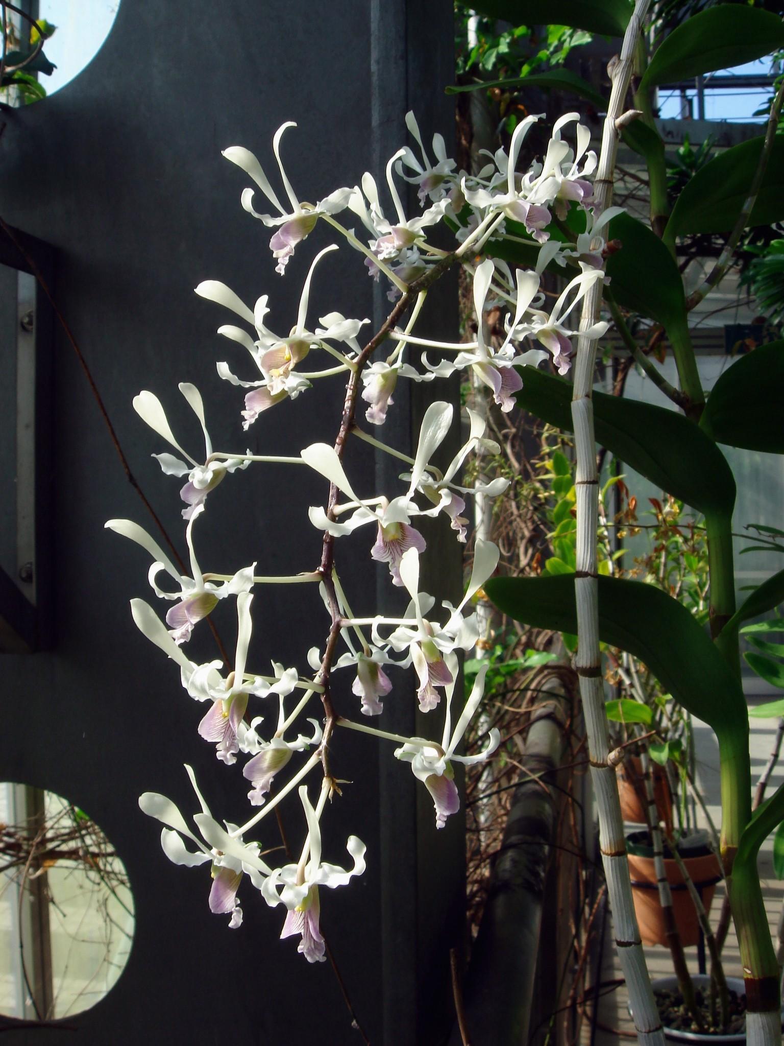 http://orchids.la.coocan.jp/Dendrobium/Dendrobium%20lineale/DSC08466.JPG