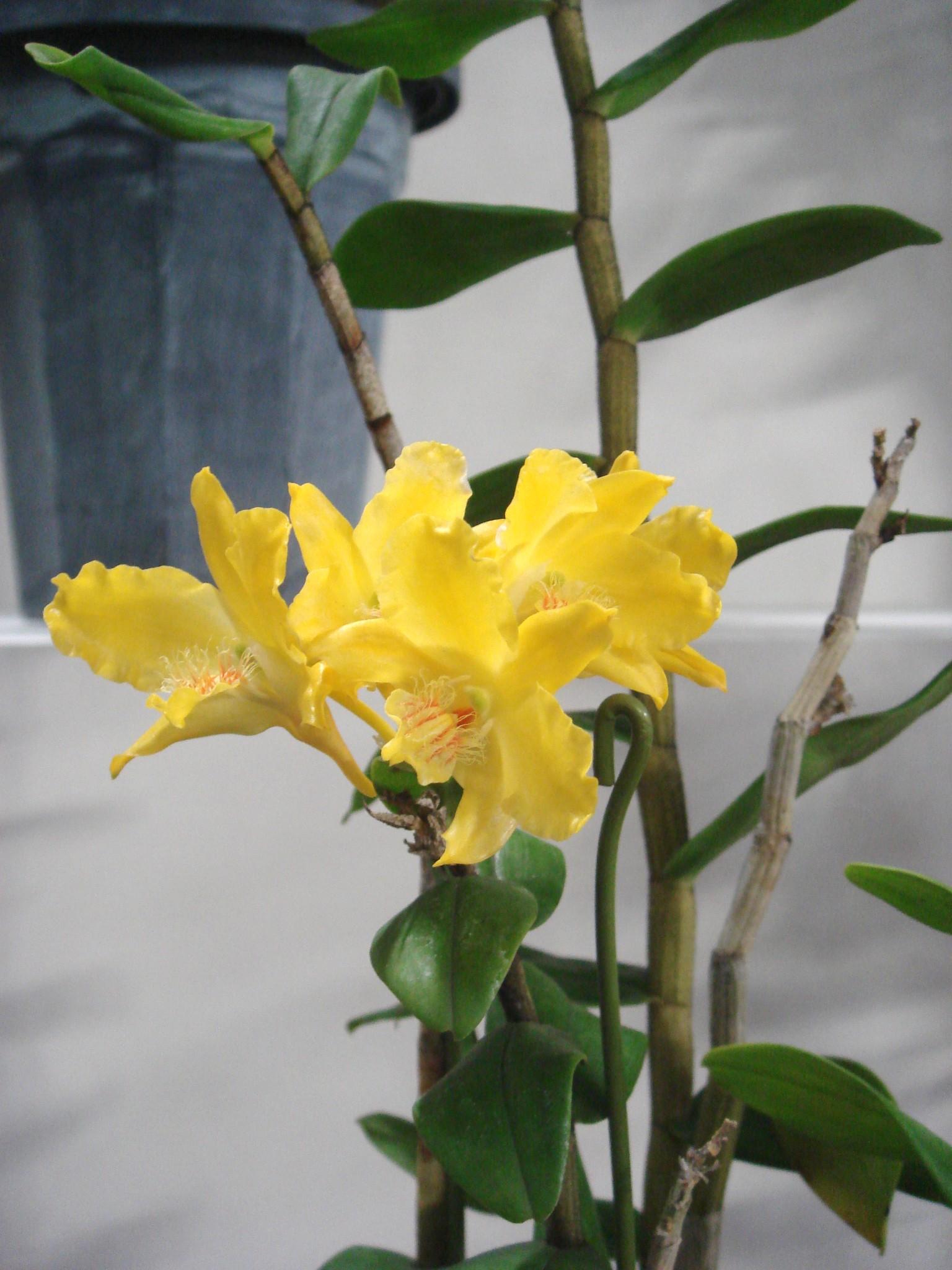 http://orchids.la.coocan.jp/Dendrobium/Dendrobium%20lowii/DSC06472.JPG