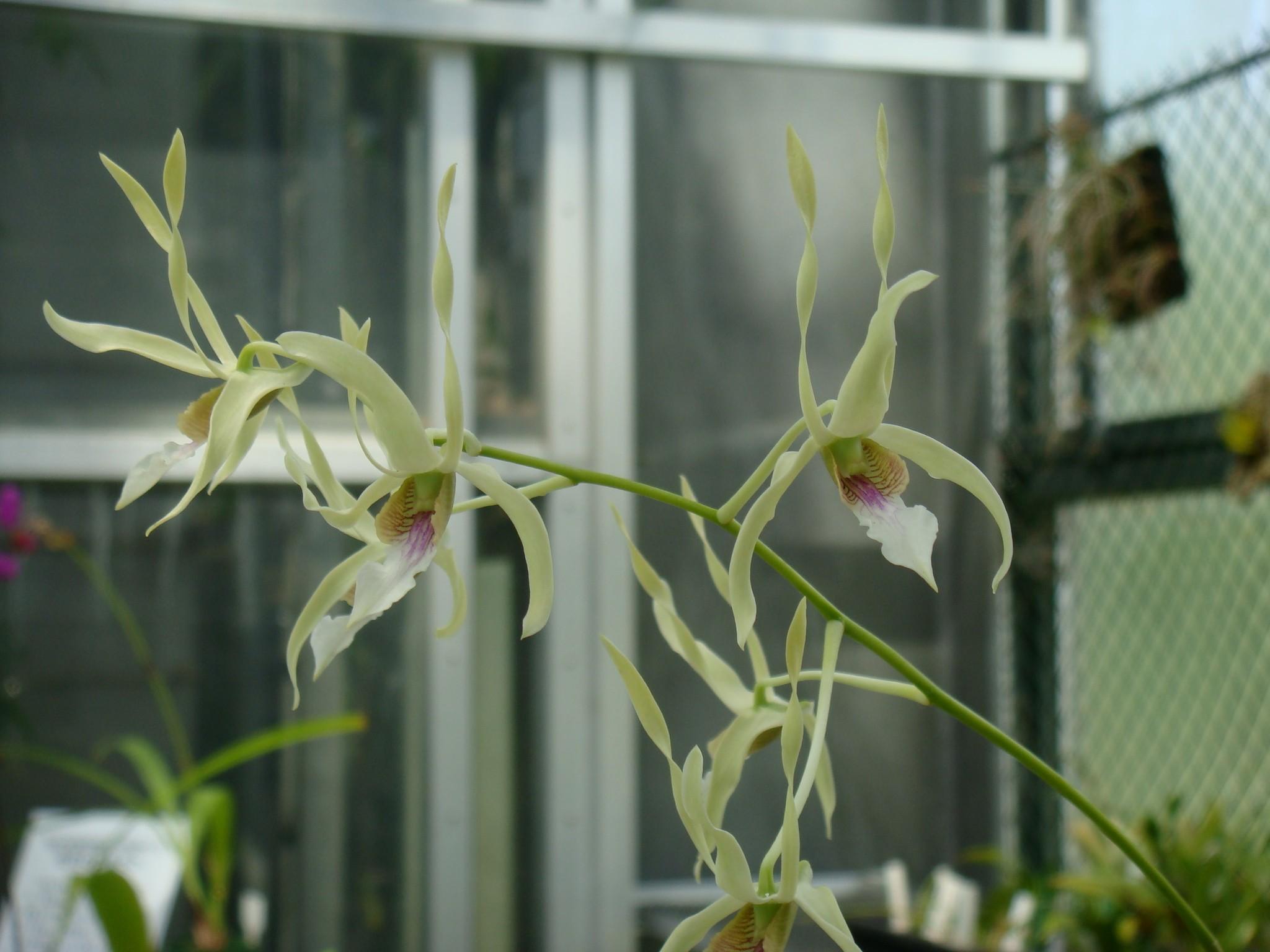 http://orchids.la.coocan.jp/Dendrobium/Dendrobium%20macranthum/DSC09697.JPG