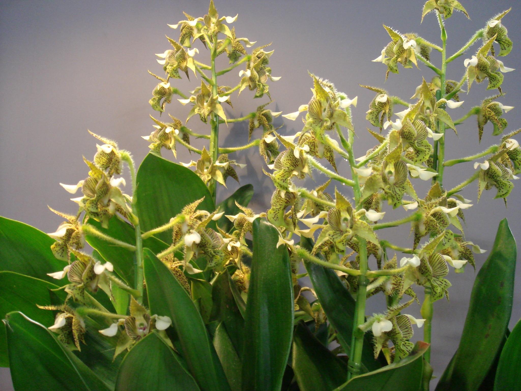 http://orchids.la.coocan.jp/Dendrobium/Dendrobium%20macrophyllum/DSC06250.JPG