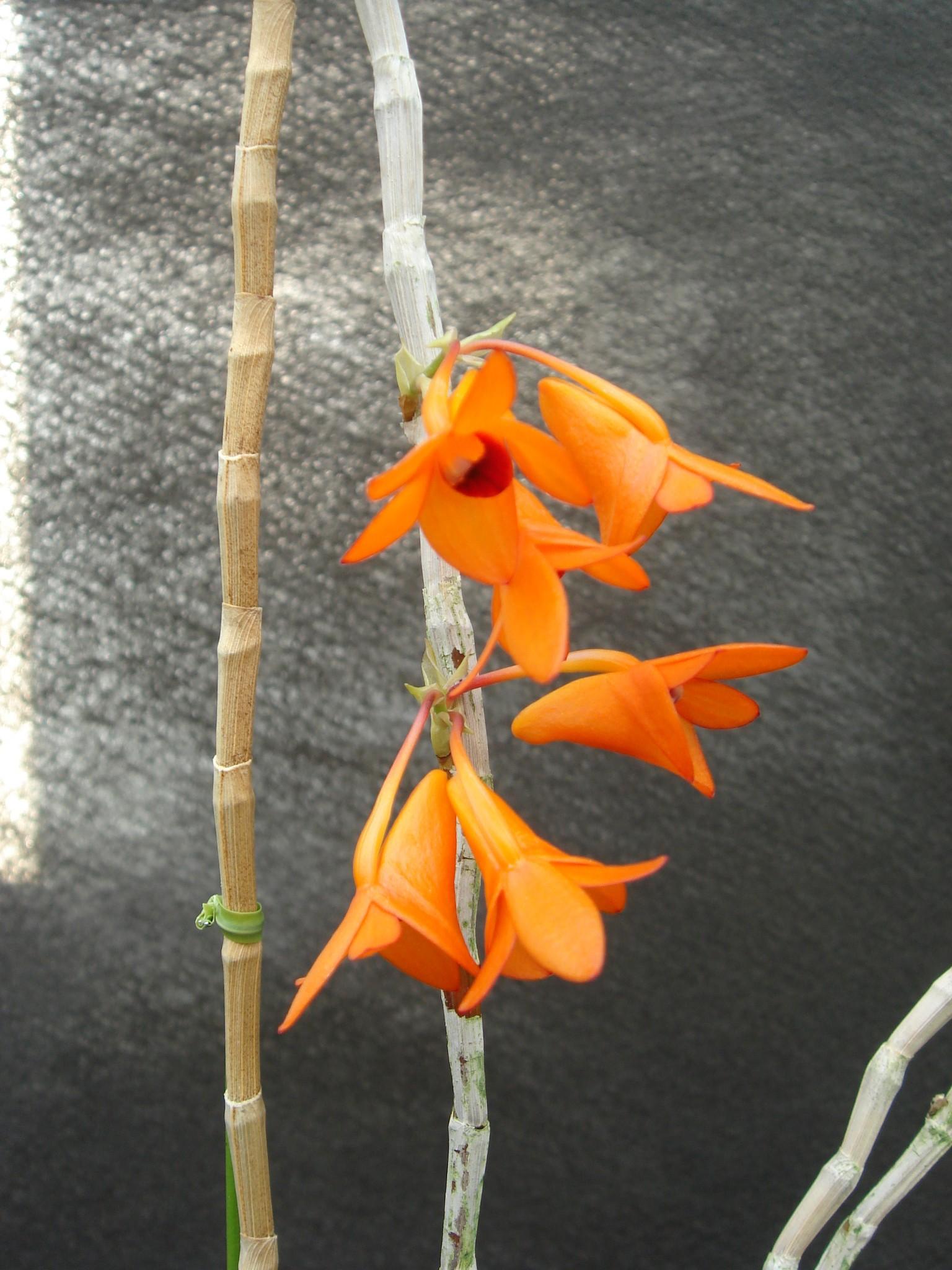 http://orchids.la.coocan.jp/Dendrobium/Dendrobium%20mohlianum/DSC08902.JPG