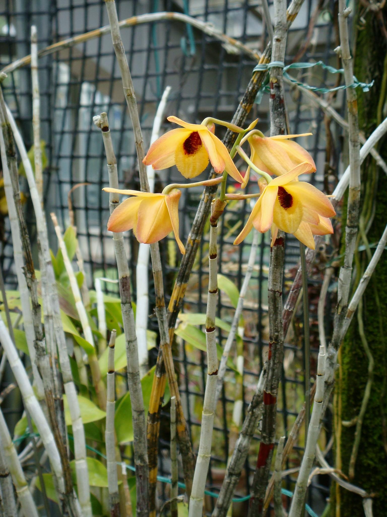 http://orchids.la.coocan.jp/Dendrobium/Dendrobium%20moschatum/DSC01044.JPG