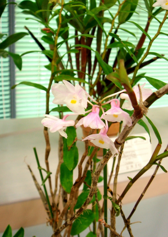 http://orchids.la.coocan.jp/Dendrobium/Dendrobium%20mutabile/DSC08823.JPG