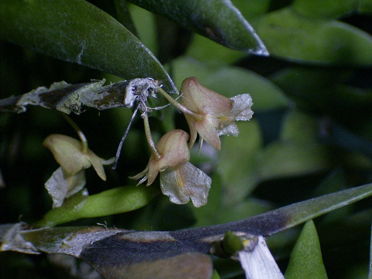 http://orchids.la.coocan.jp/Dendrobium/Dendrobium%20nathanielis/R0050741.JPG
