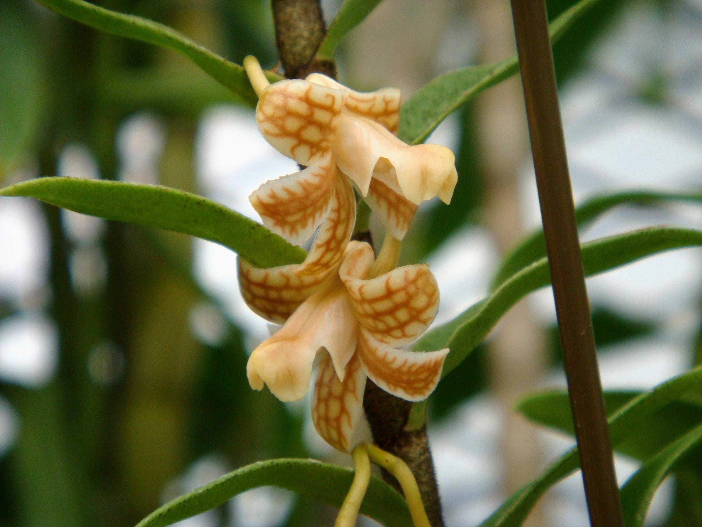 http://orchids.la.coocan.jp/Dendrobium/Dendrobium%20nemorale/DSC01864.JPG
