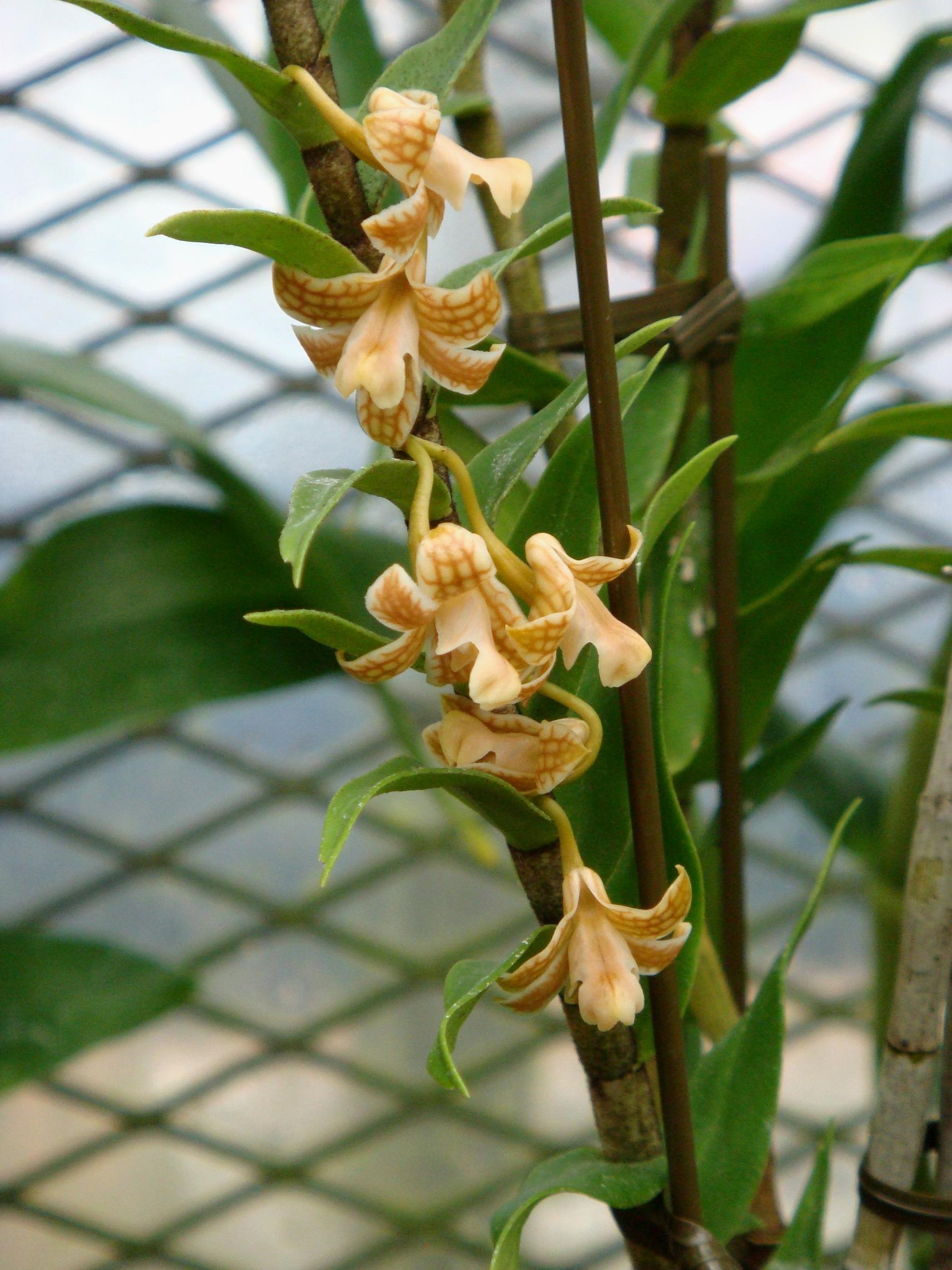 http://orchids.la.coocan.jp/Dendrobium/Dendrobium%20nemorale/DSC01866.JPG