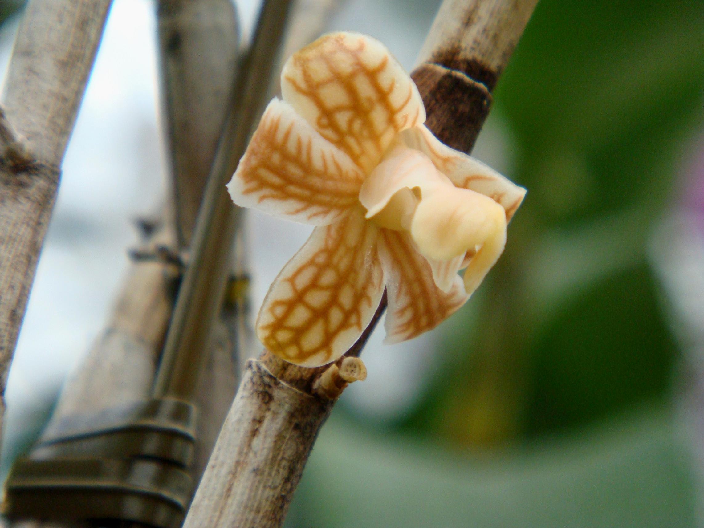 http://orchids.la.coocan.jp/Dendrobium/Dendrobium%20nemorale/DSC01867.JPG