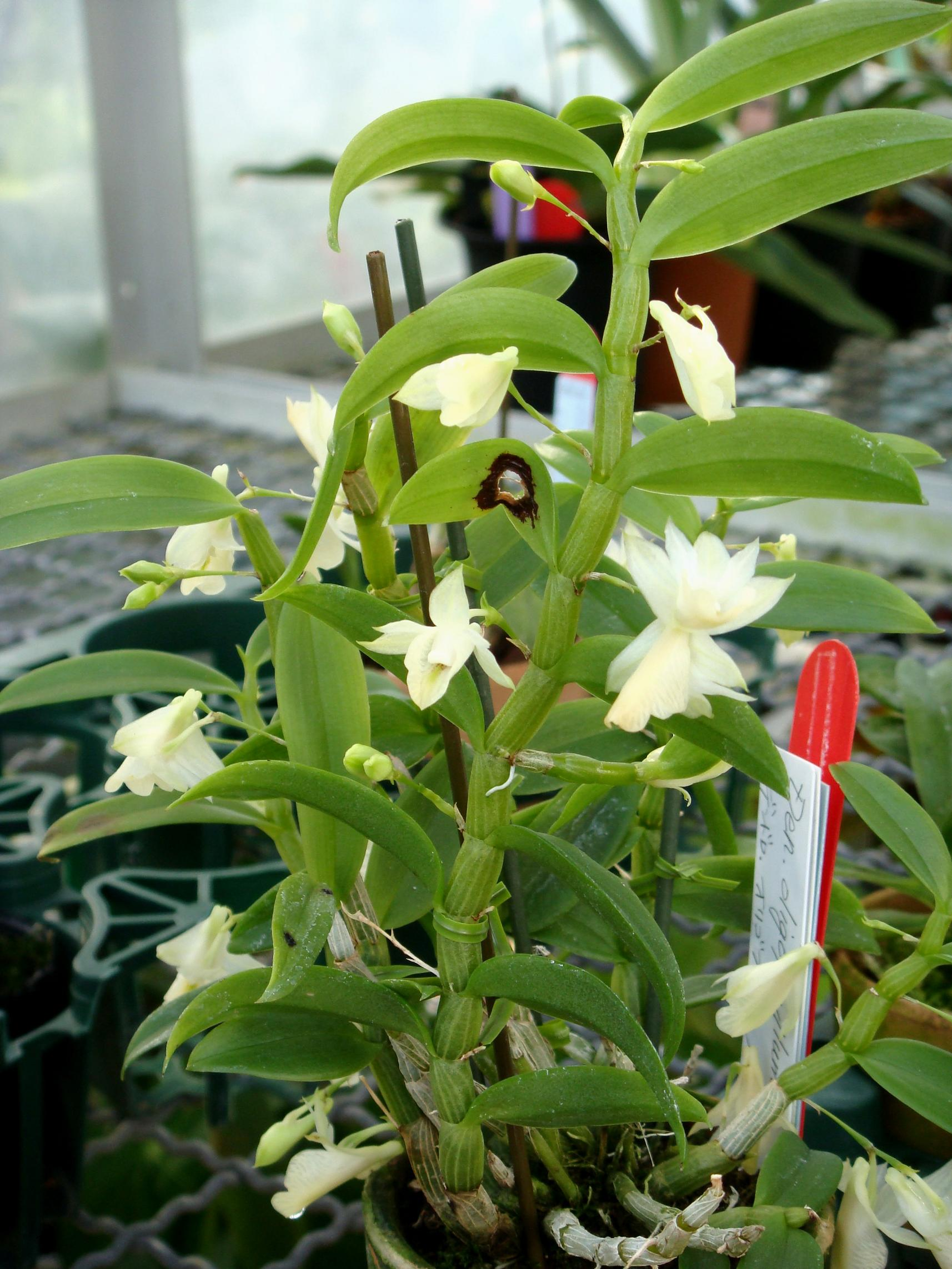 http://orchids.la.coocan.jp/Dendrobium/Dendrobium%20oligophyllum/DSC03696.JPG