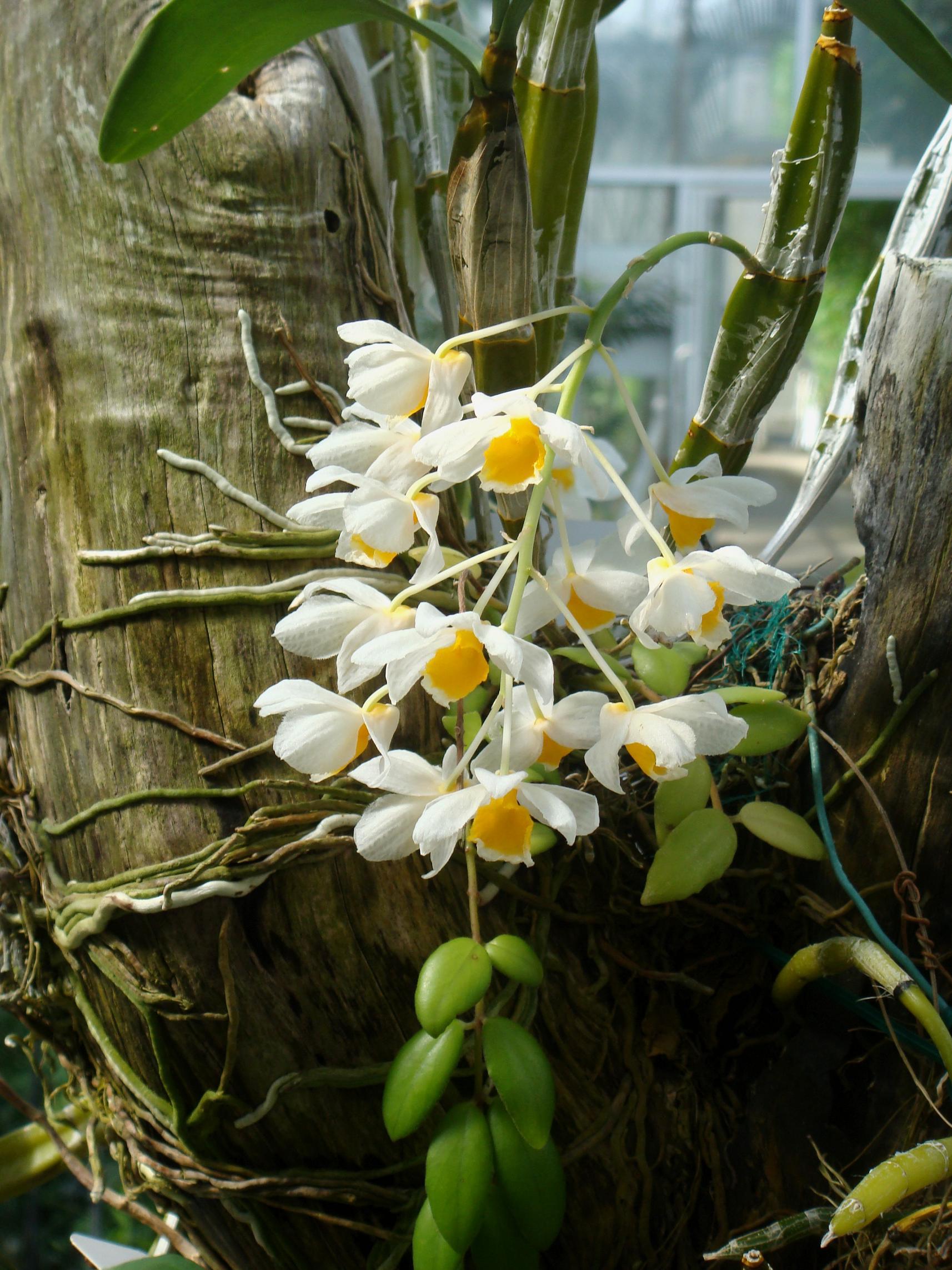 http://orchids.la.coocan.jp/Dendrobium/Dendrobium%20palpebrae/DSC01218.JPG