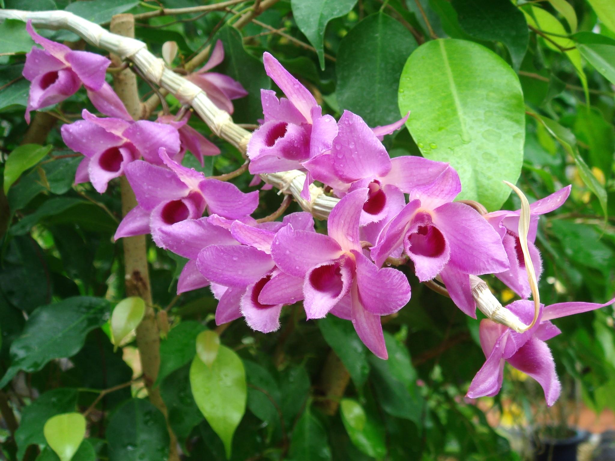 http://orchids.la.coocan.jp/Dendrobium/Dendrobium%20parishii/DSC07090.JPG