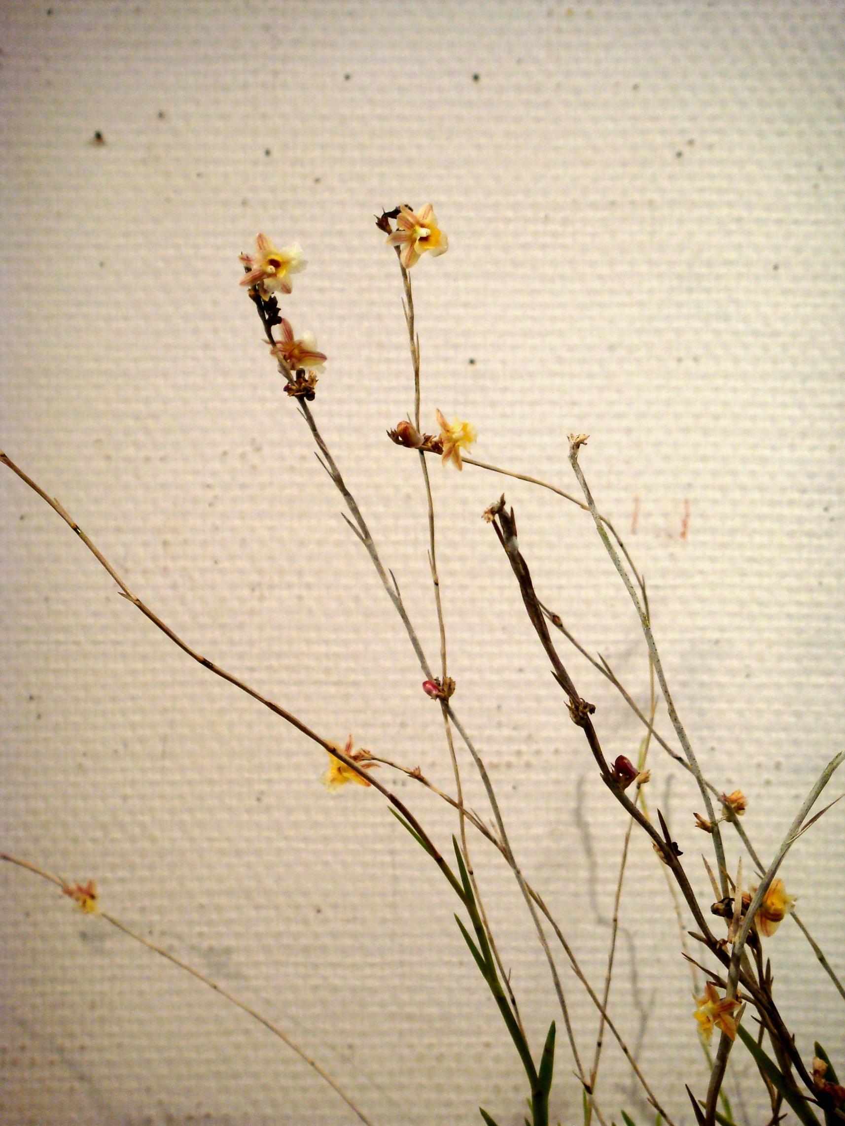 http://orchids.la.coocan.jp/Dendrobium/Dendrobium%20patentilobum/DSC01582.JPG