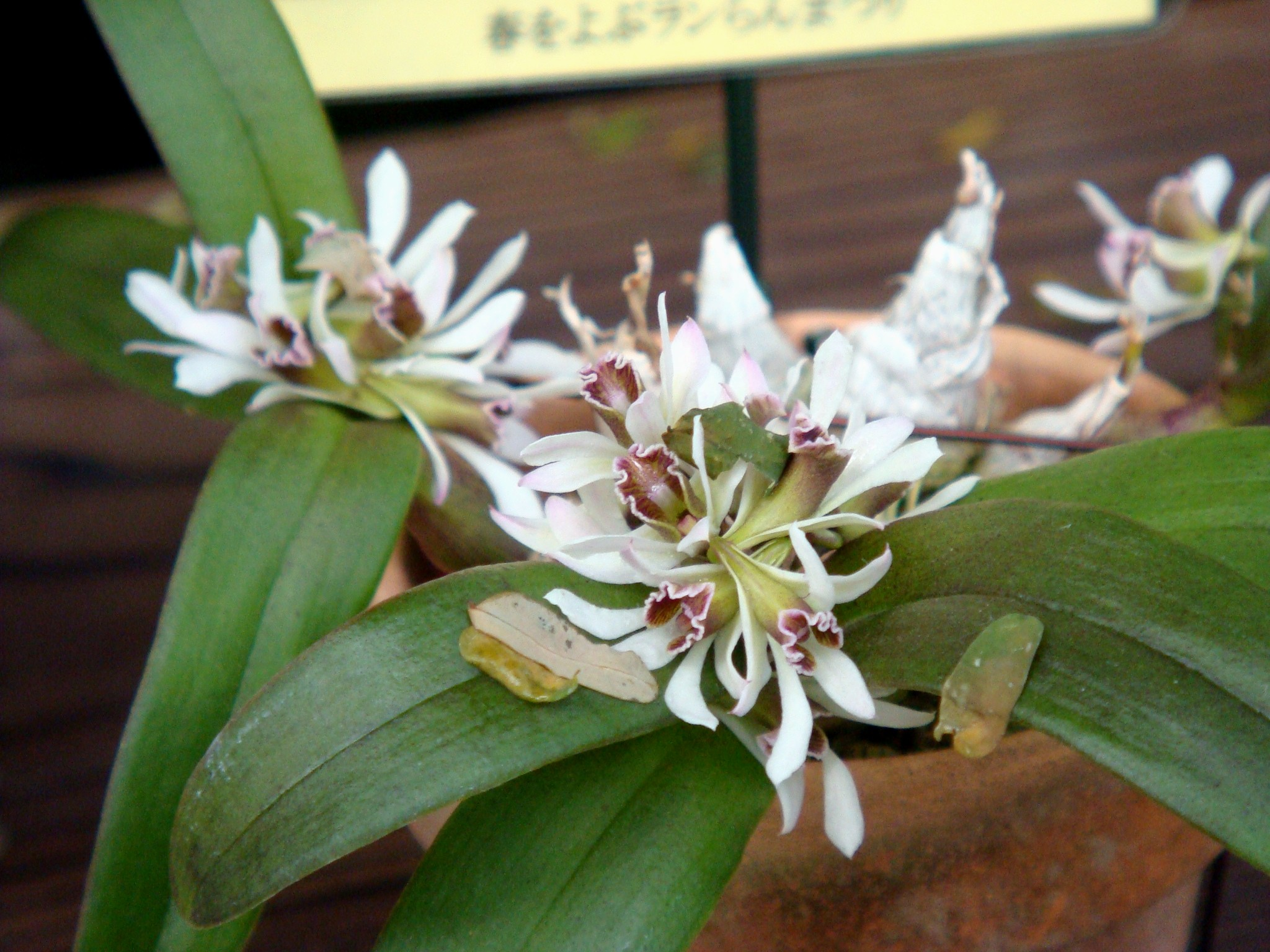 http://orchids.la.coocan.jp/Dendrobium/Dendrobium%20peguanum/DSC00983.JPG