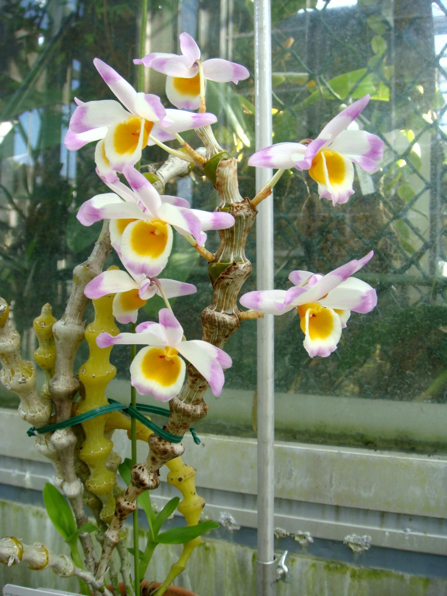 http://orchids.la.coocan.jp/Dendrobium/Dendrobium%20pendulum/DSC01842.JPG