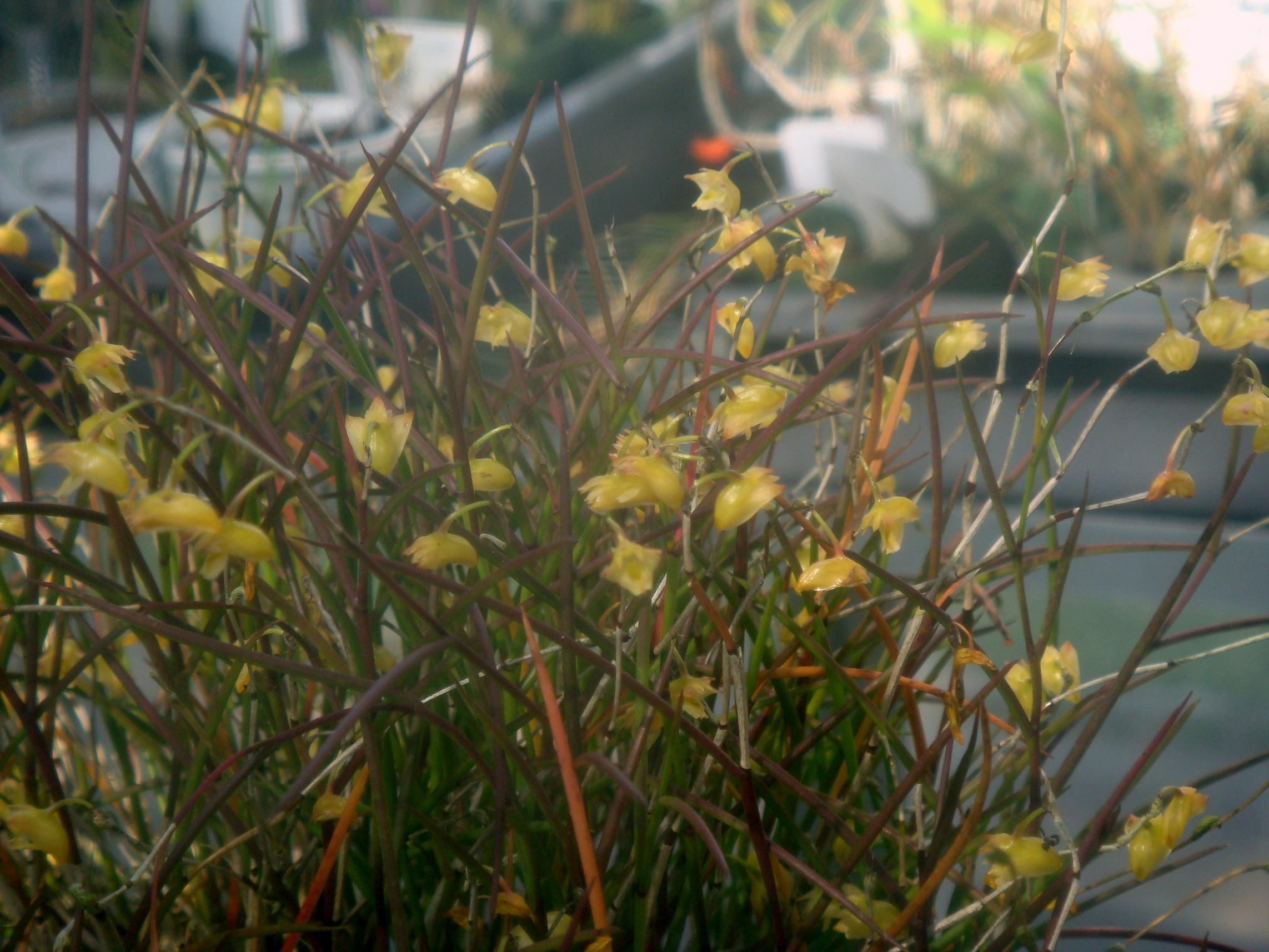 http://orchids.la.coocan.jp/Dendrobium/Dendrobium%20philippinense/DSC00979.JPG