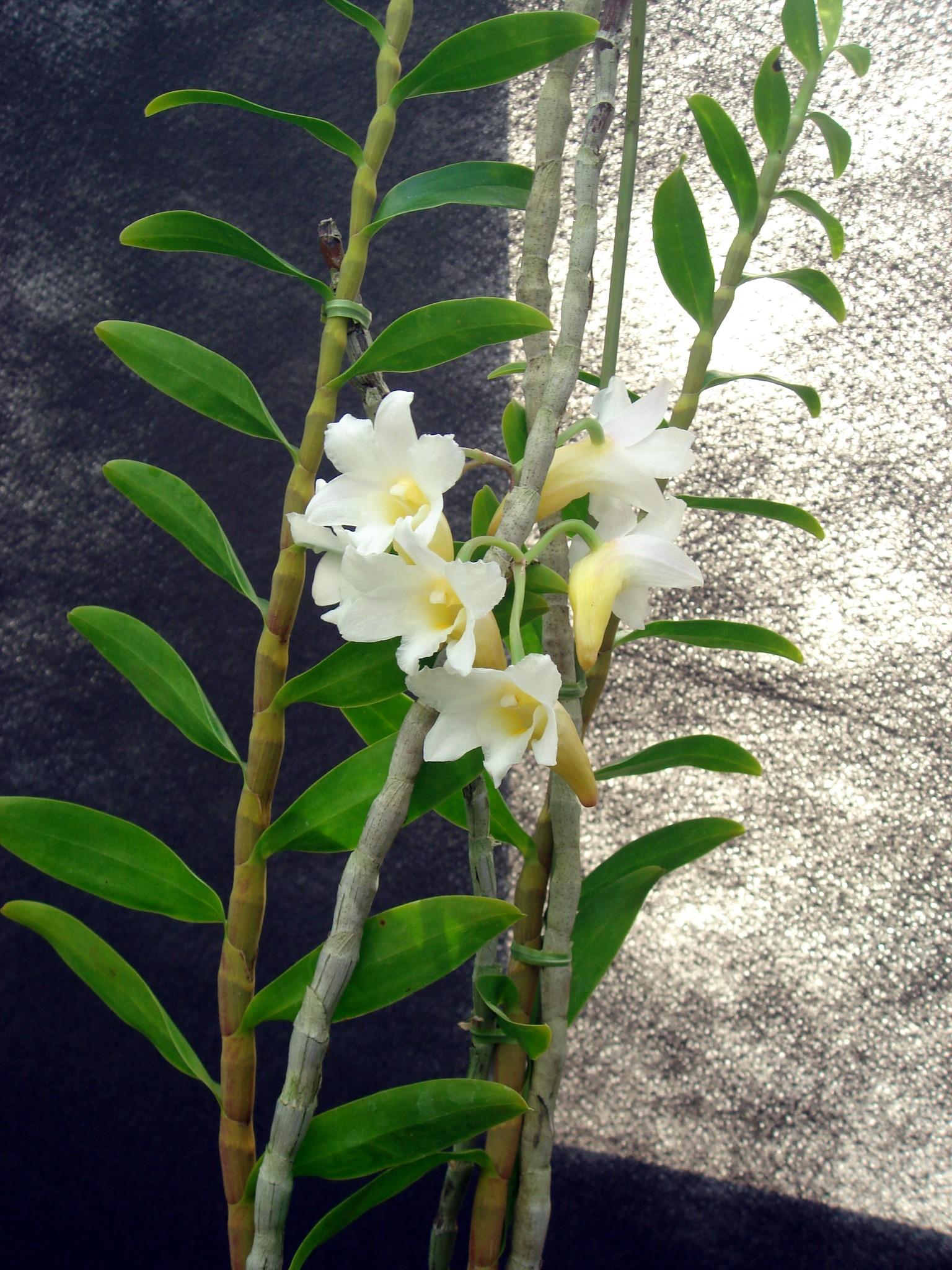 http://orchids.la.coocan.jp/Dendrobium/Dendrobium%20phillipsii/DSC09339.JPG