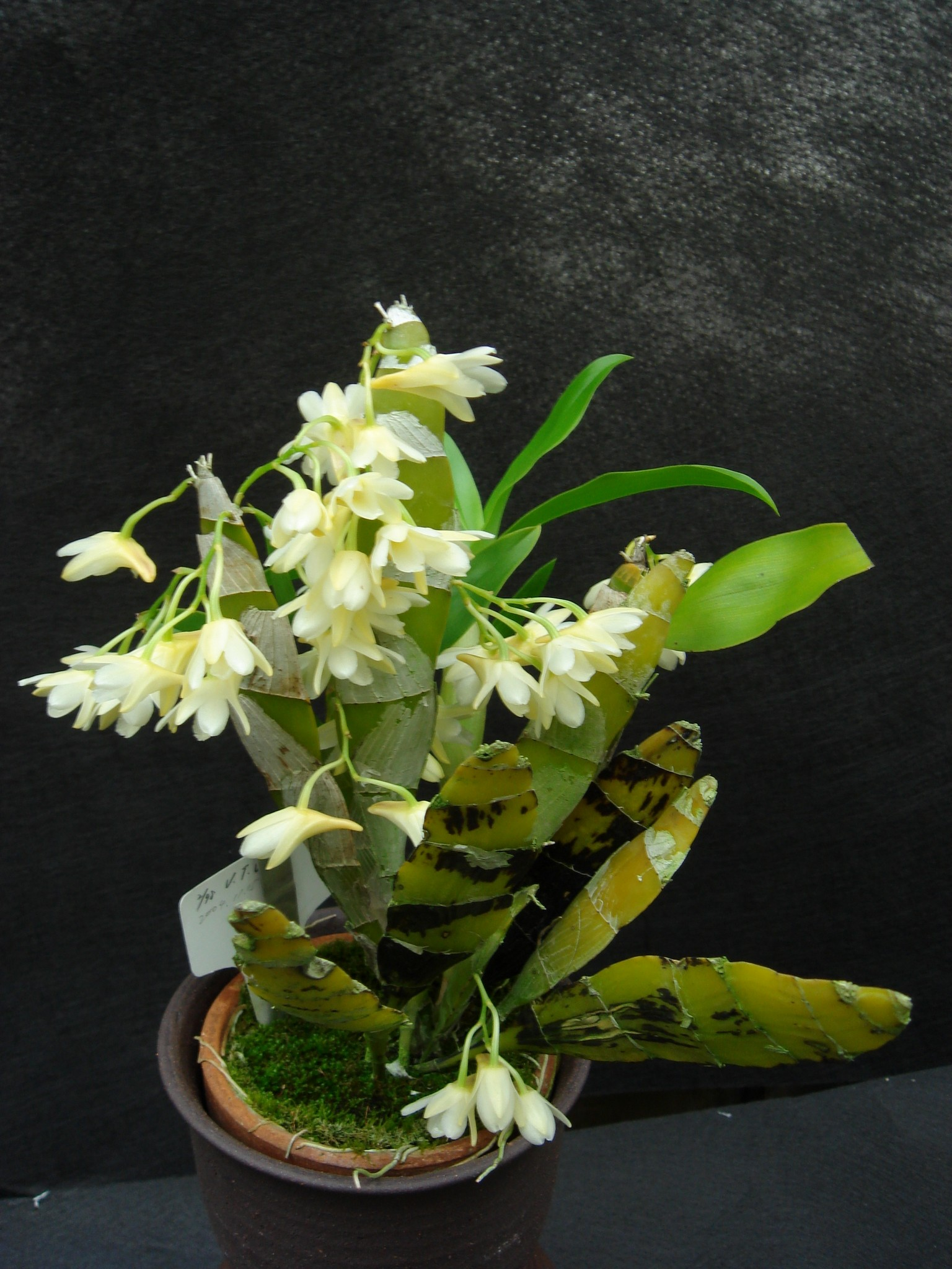 http://orchids.la.coocan.jp/Dendrobium/Dendrobium%20platygastrium/DSC01359.JPG
