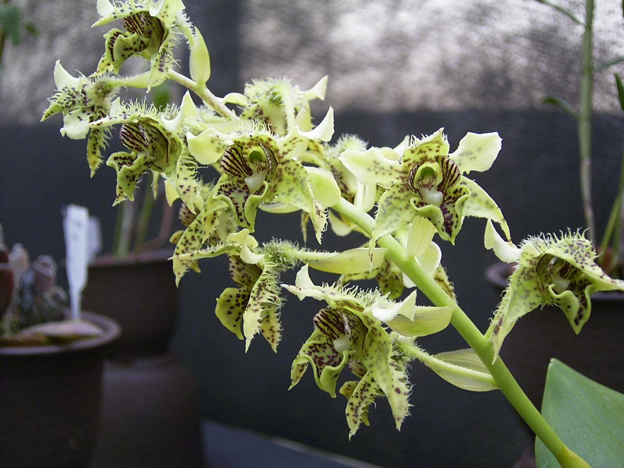 http://orchids.la.coocan.jp/Dendrobium/Dendrobium%20polysema/R0049365.JPG
