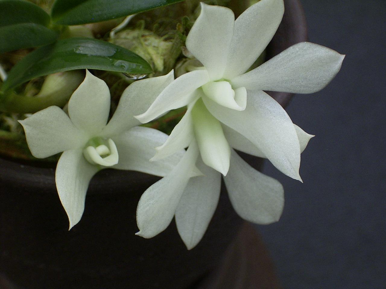 http://orchids.la.coocan.jp/Dendrobium/Dendrobium%20prasinum/R0049340.JPG